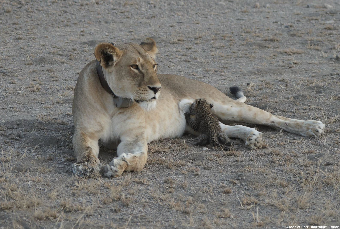 In a rare sighting, a baby leopard is seen suckling on a lionness at Ndutu Lodge at Tanzania's Ngorongoro Conservation Area.