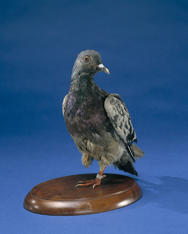 Cher Ami is on display in Price of Freedom at the Smithsonian's National Museum of American History.