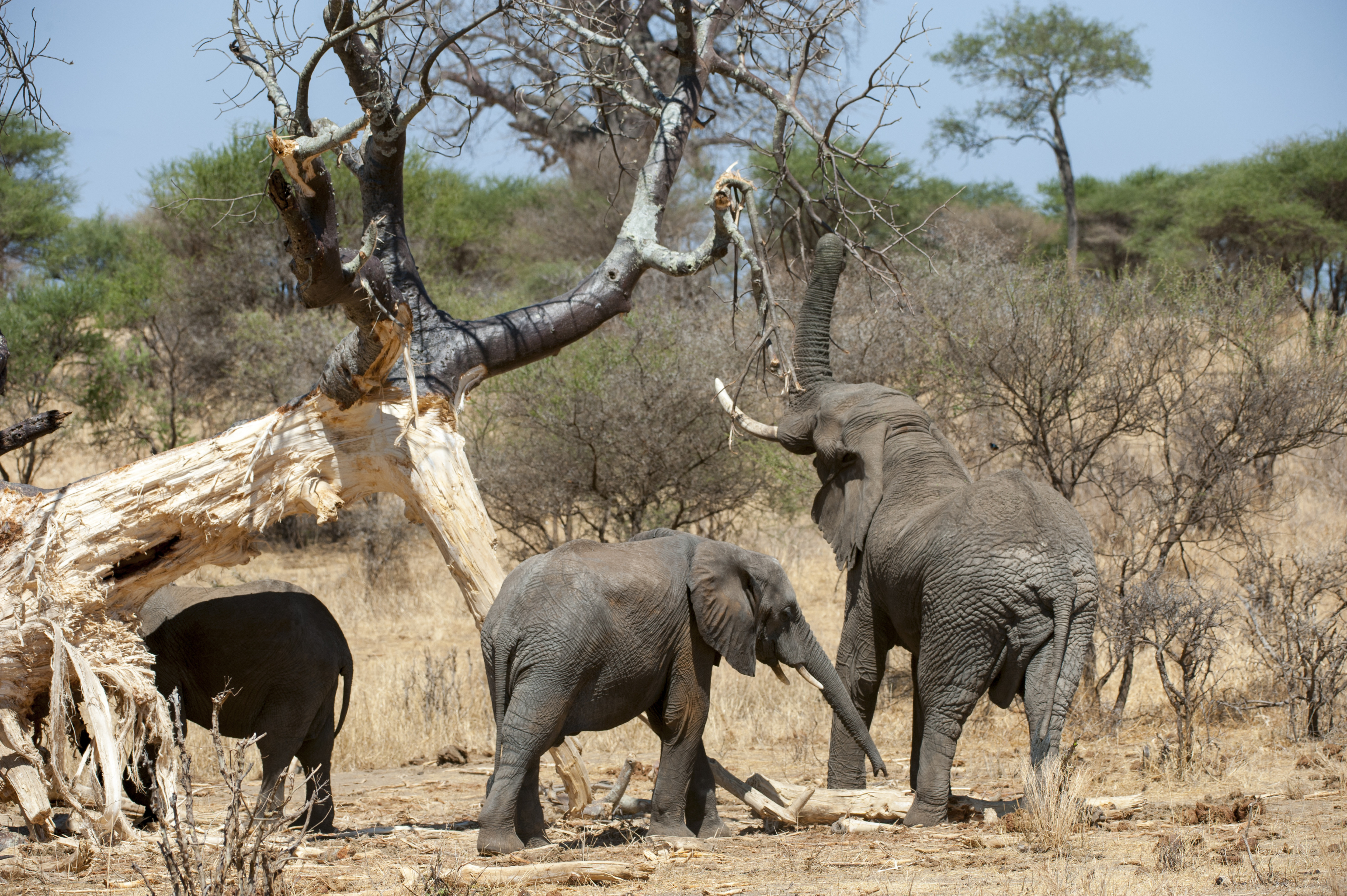 African elephants seen feeding on a tree in Tarangire National Park in Tanzania, East Africa, in Oct. 2013