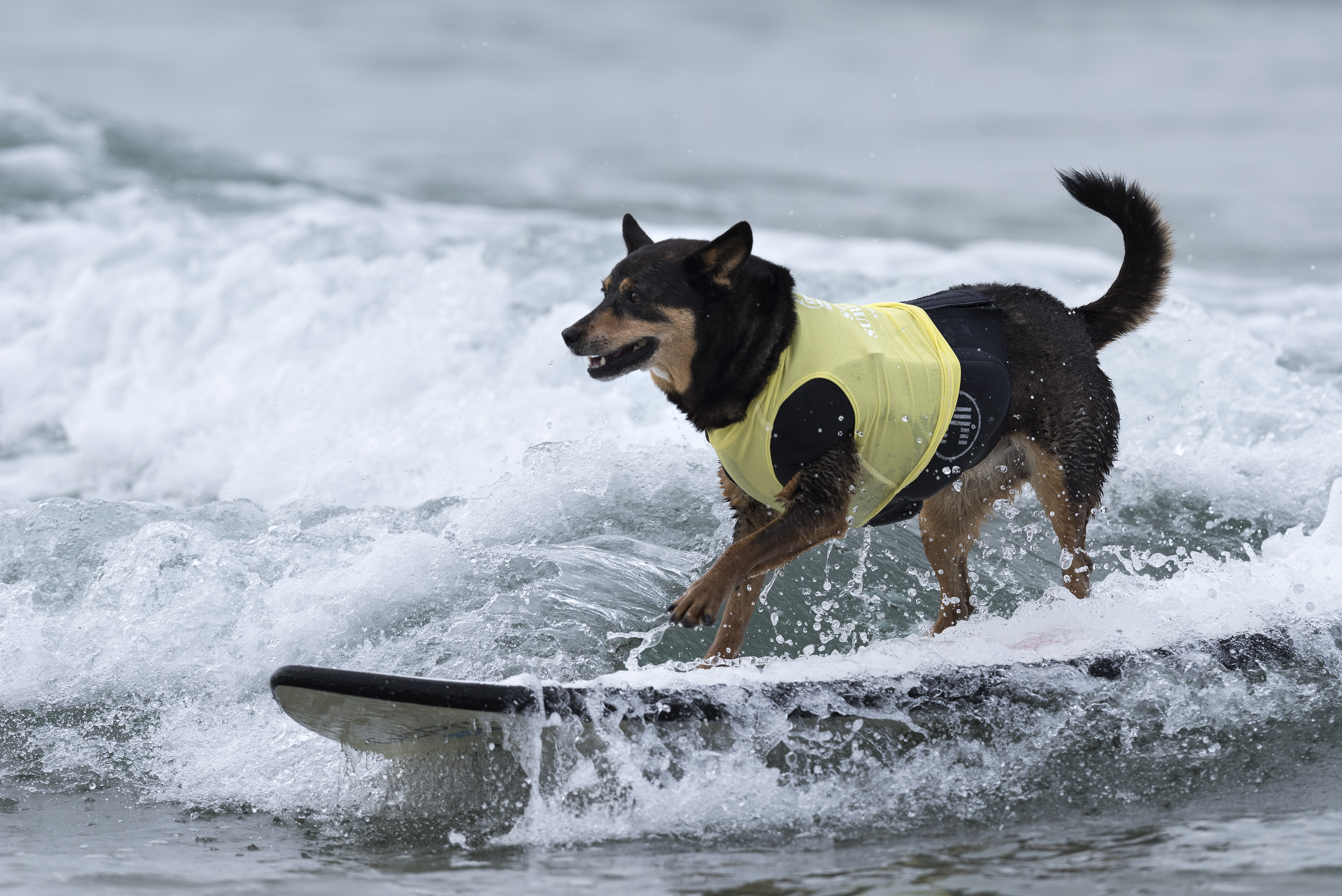 Surfer dog, Abbie, competes in the 11th annual Helen Woodward Animal Centers Surf Dog Surf-A-Thon in Del Mar, California. October 2, 2016.