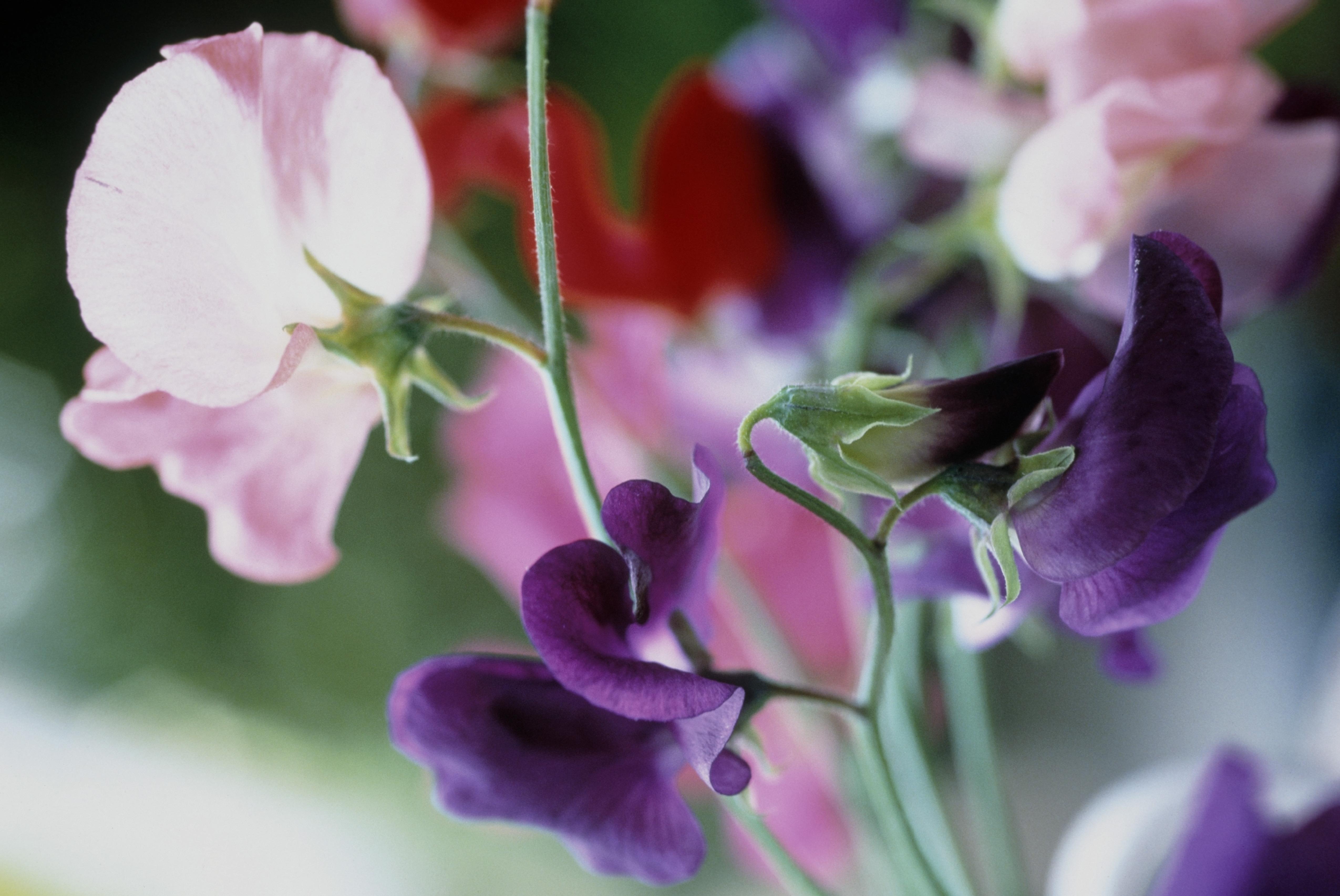 Sweet pea, Lathyrus odoratus,