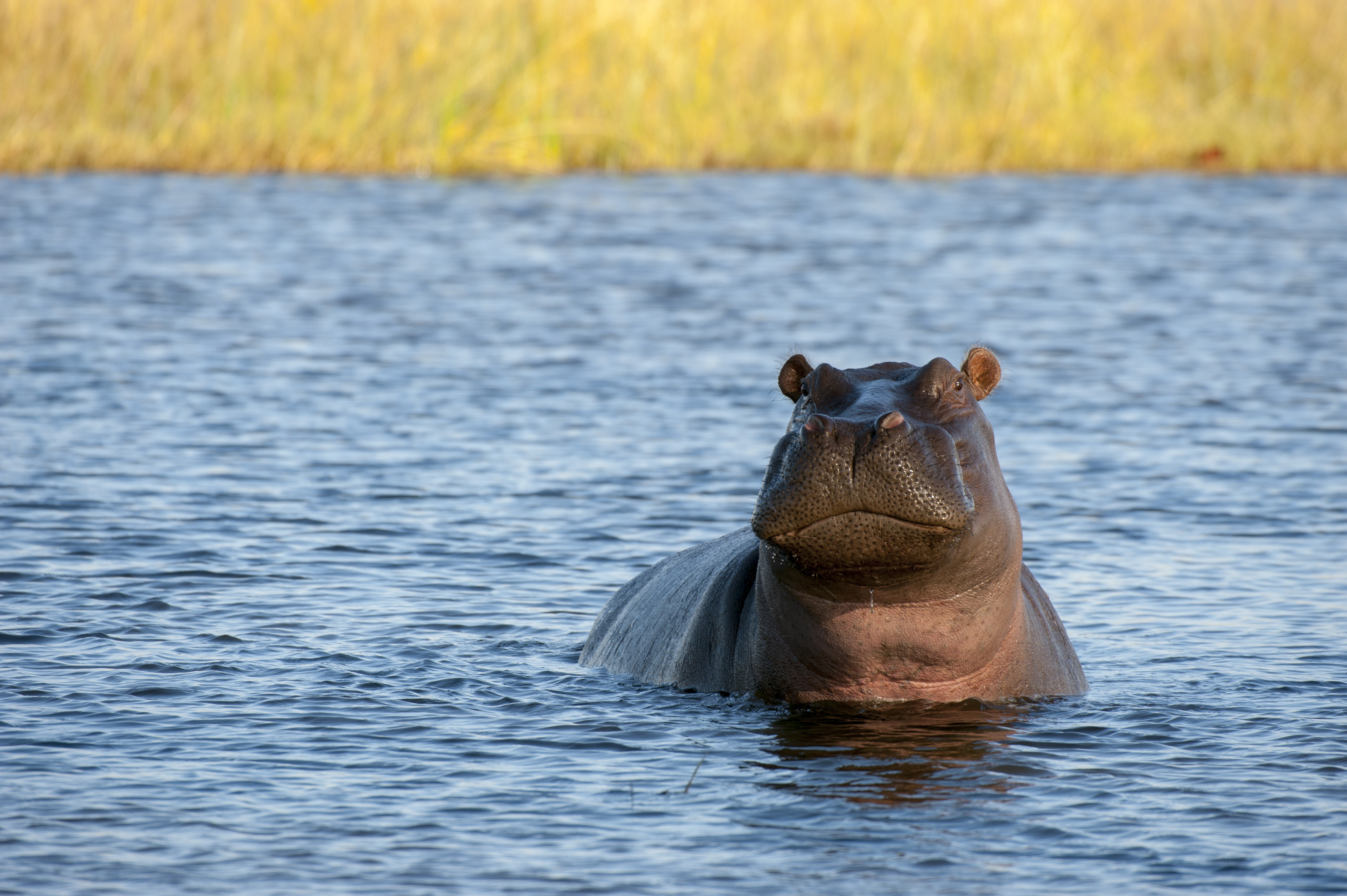 A hippopotamus in a river near Chitabe in the Okavango Delta in northern part of Botswana.