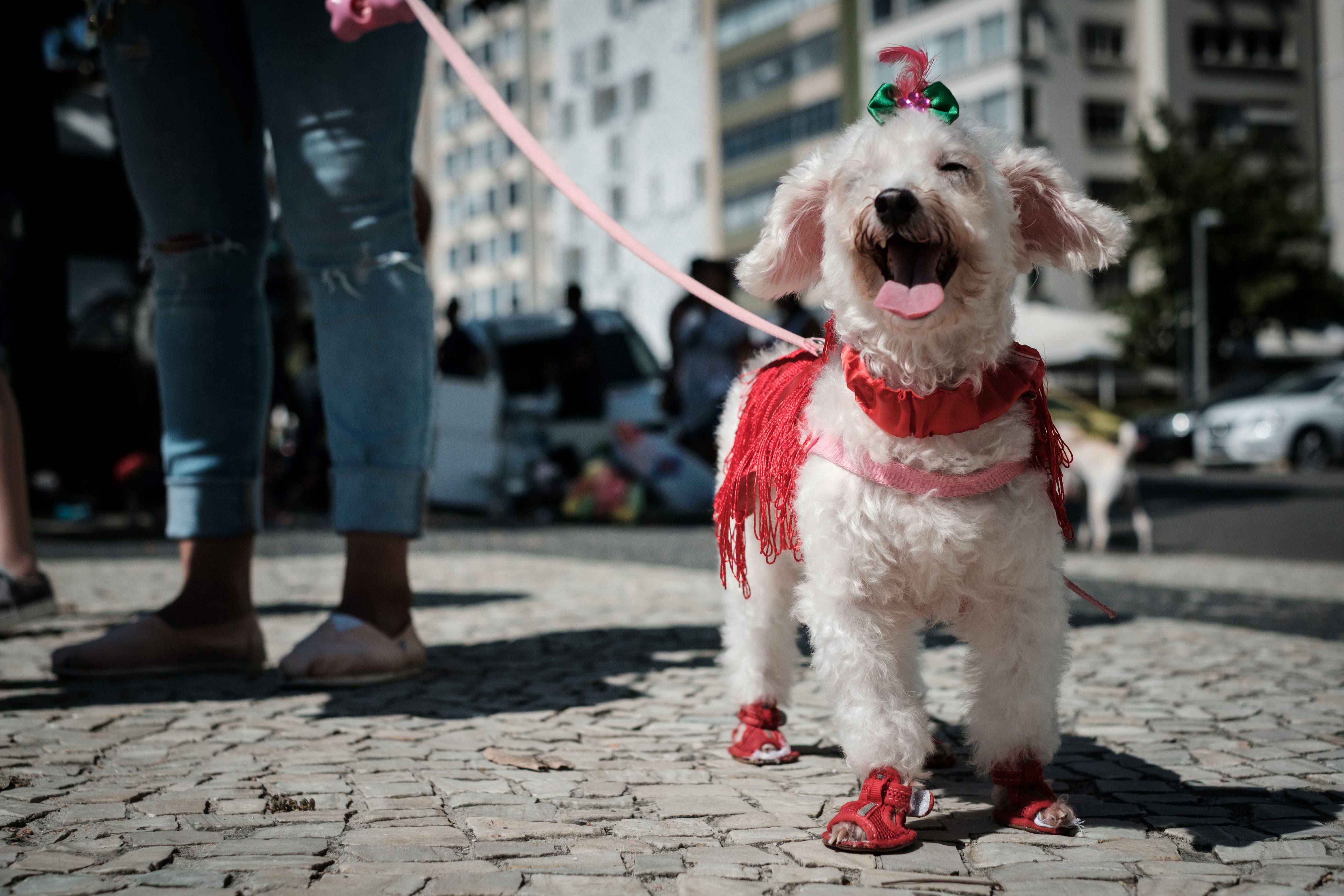 A dog dressed in costume is seen during the Rio Dog Carnival, known as the Blocao  with  bloco  meaning street party and  cao  dog, during pre-carnival celebrations at Copacabana beach in Rio de Janeiro, Brazil, on February 19, 2017. / AFP / Yasuyoshi CHIBA        (Photo credit should read YASUYOSHI CHIBA/AFP/Getty Images)