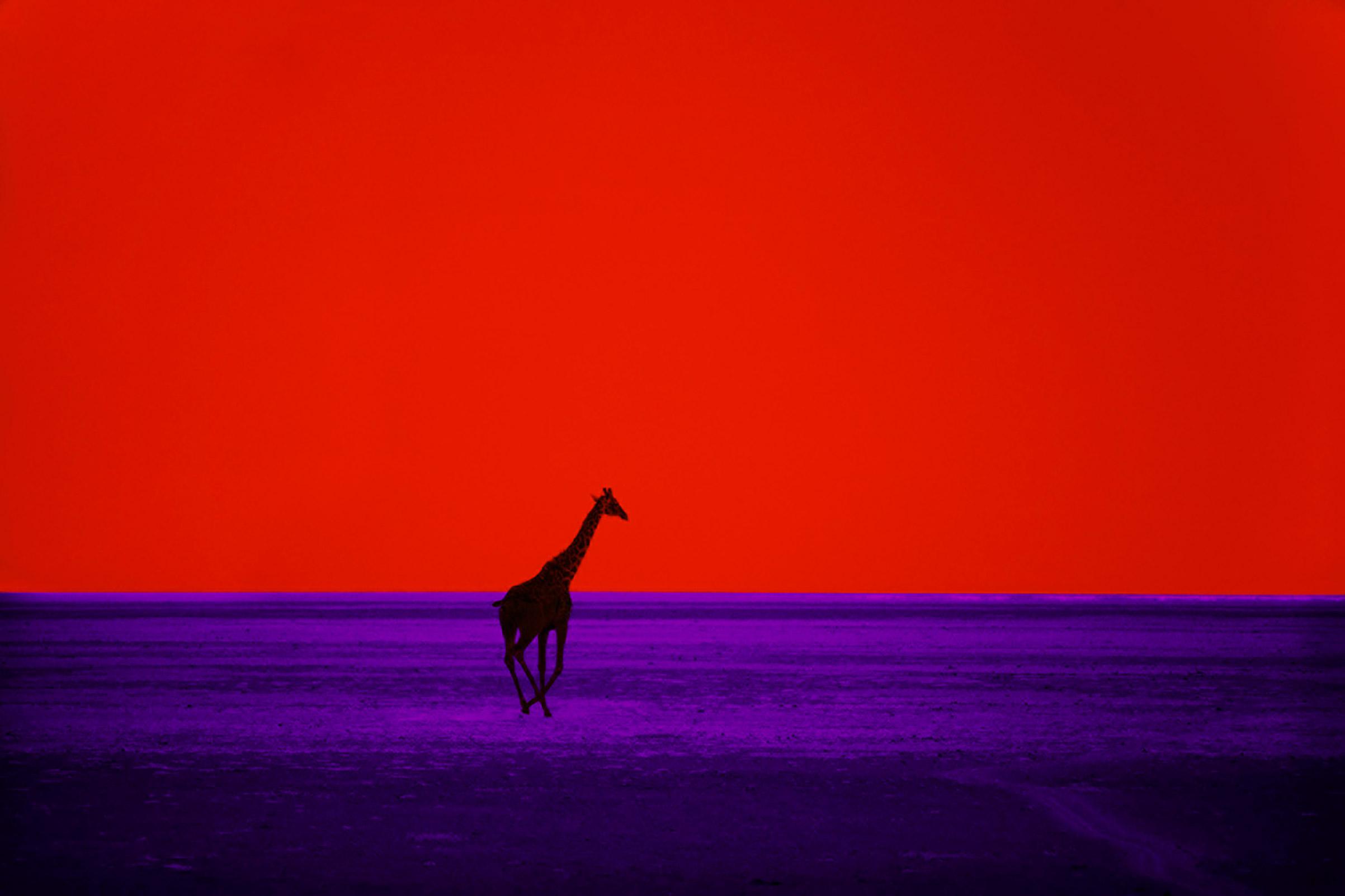 Giraffe, 1964.