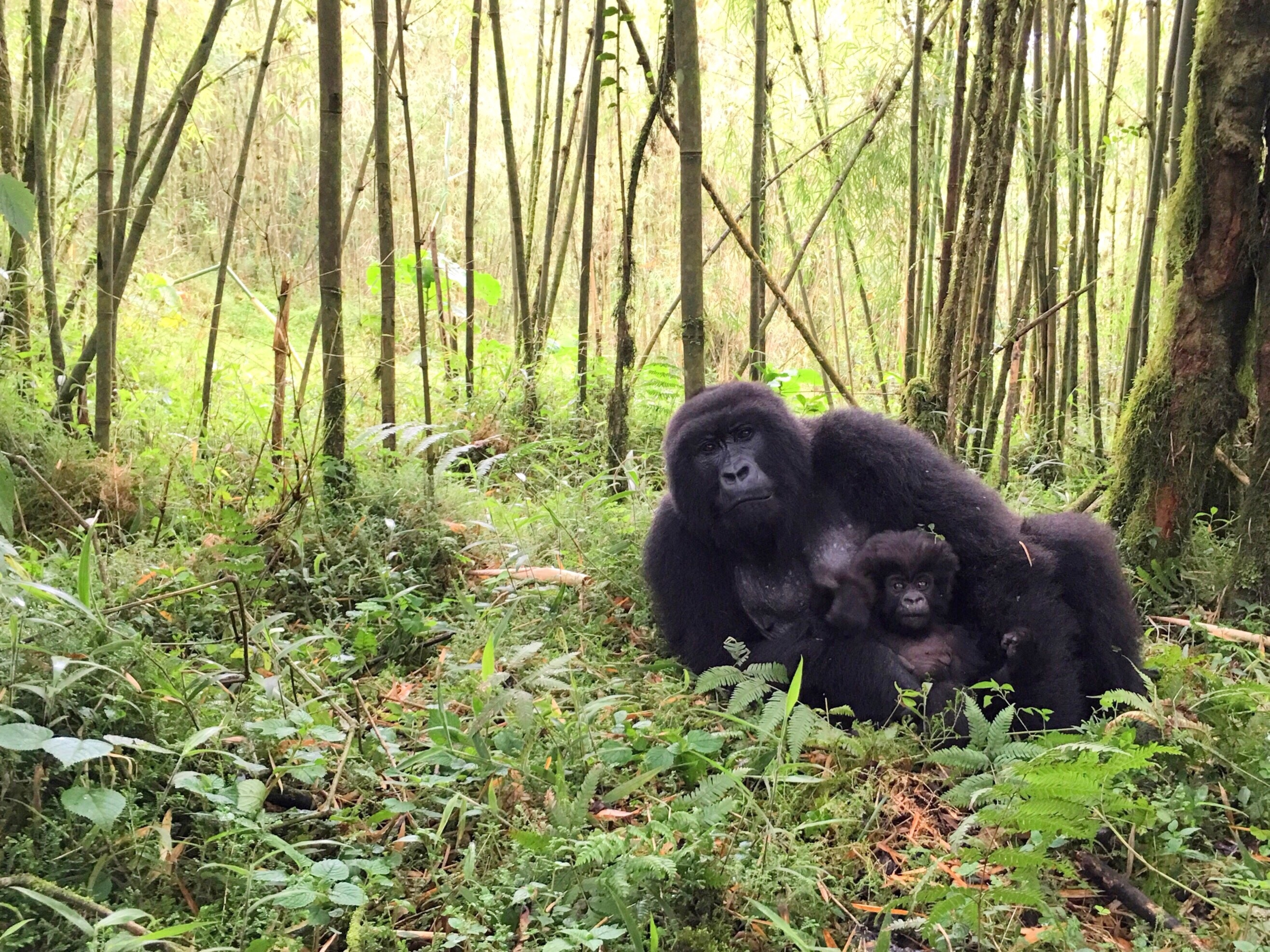Mom And Baby Gorilla Resting In Volcanoes National Park, Rwanda