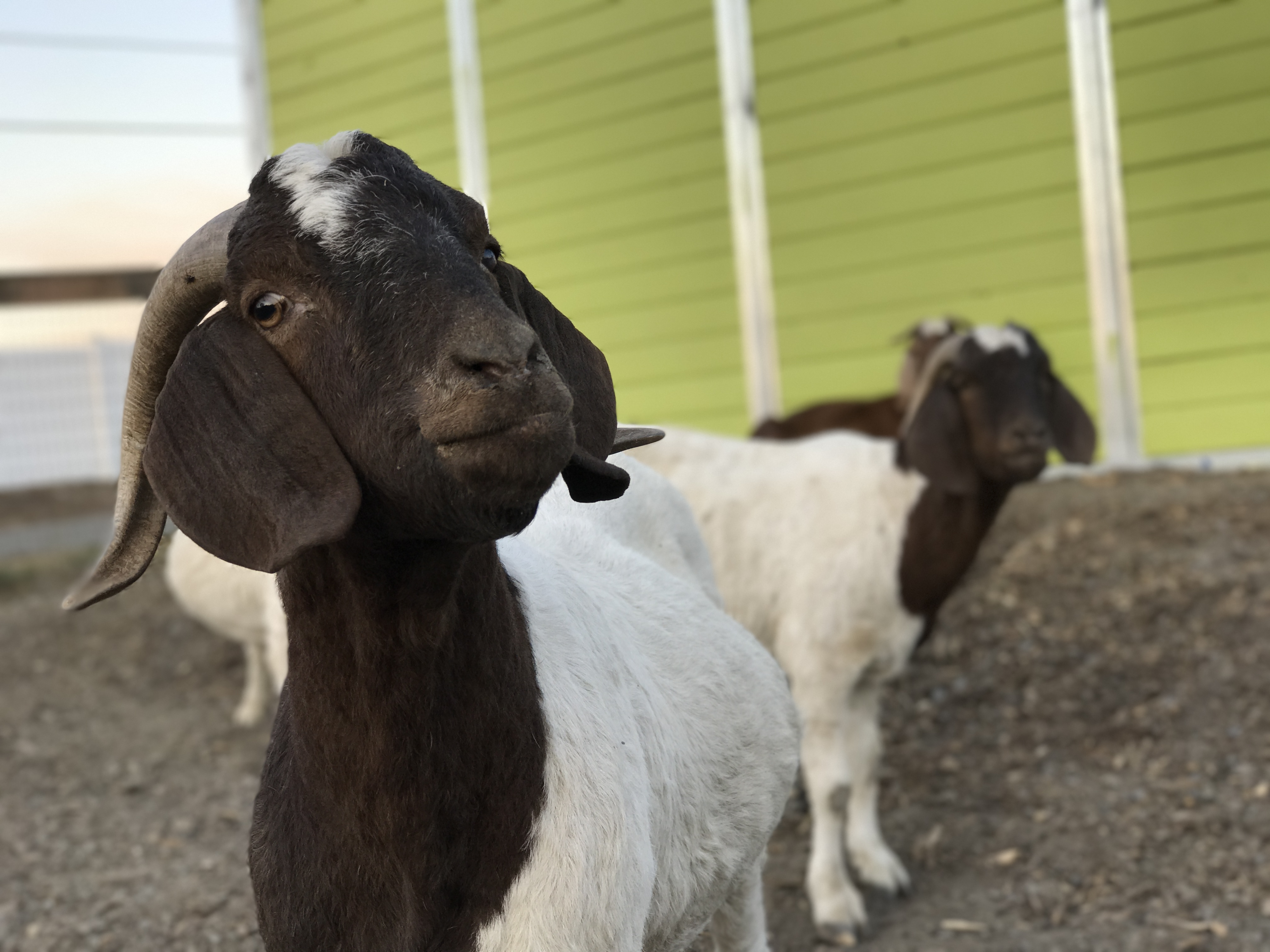 Goats rescued from evacuation areas stand at the Goatlandia animal sanctuary in Santa Rosa.