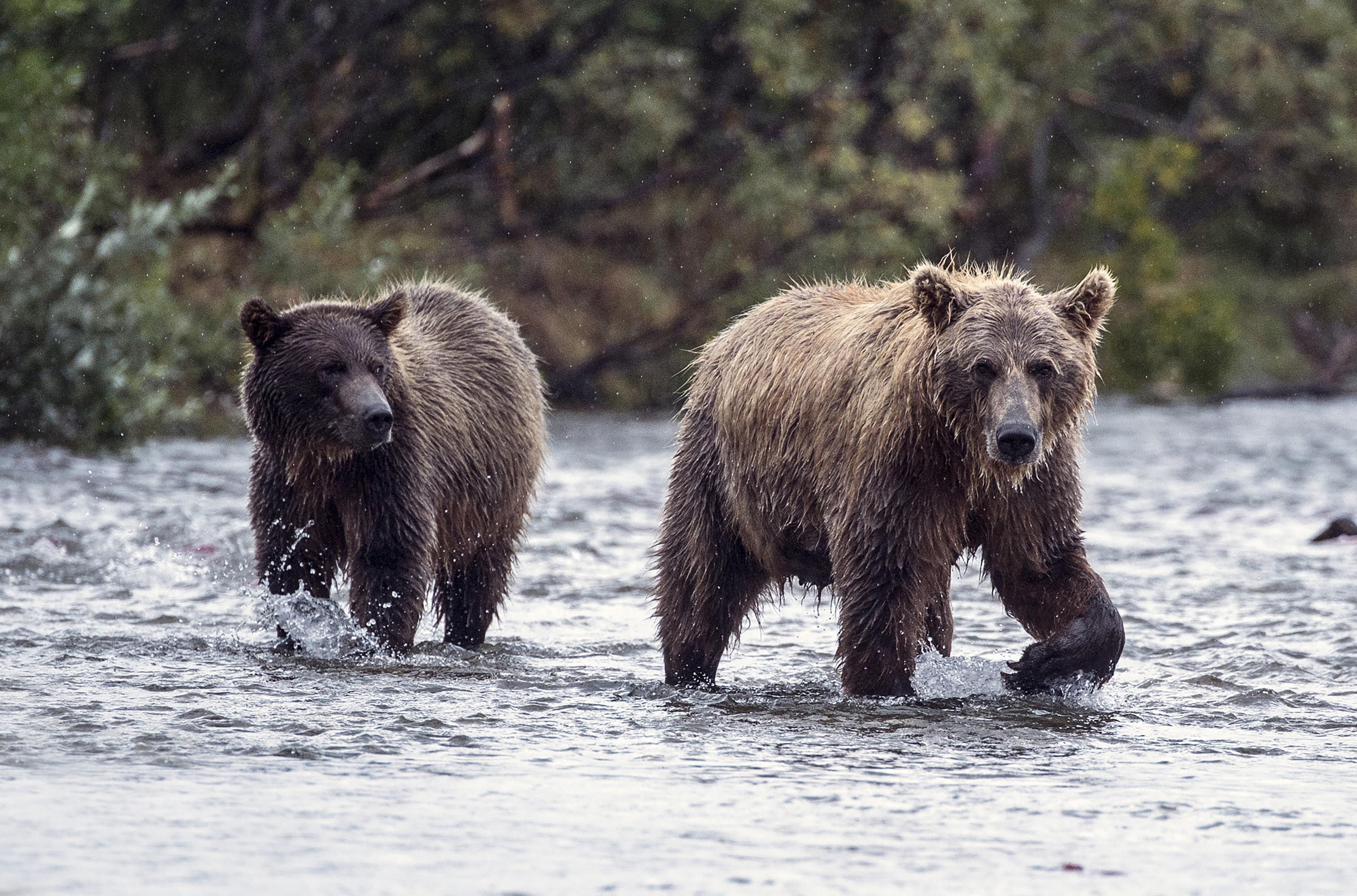 Brown bears in Katmai National Park, Alaska.