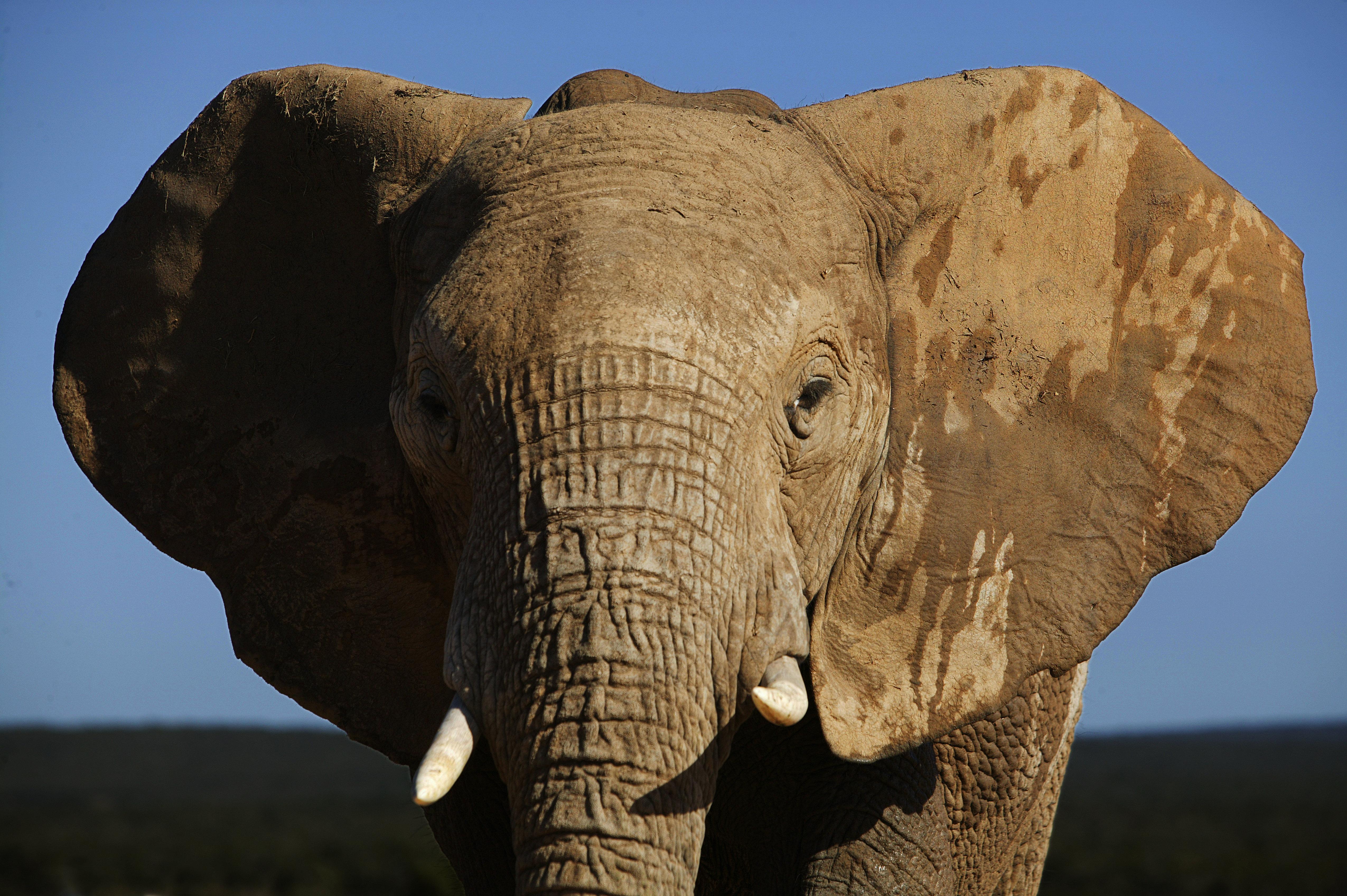 Afrikanischer Elefant, Addo Elephant Park, Ostkap, Südafrika, Afrika Rights-Managed Image - Lizenzpflichtiges Bildmaterial - (c) by LOOK-foto - JEGLICHE VERWENDUNG nur gegen HONORAR und BELEG - Werbliche Nutzung nur nach schriftlicher Freigabe - Es gelten die AGB von LOOK-foto - Tel. +49(0)89.544 233-0, Fax -22, info@look-foto.de, LOOK GmbH, Muellerstr. 42, 80469 Muenchen - www.look-foto.de