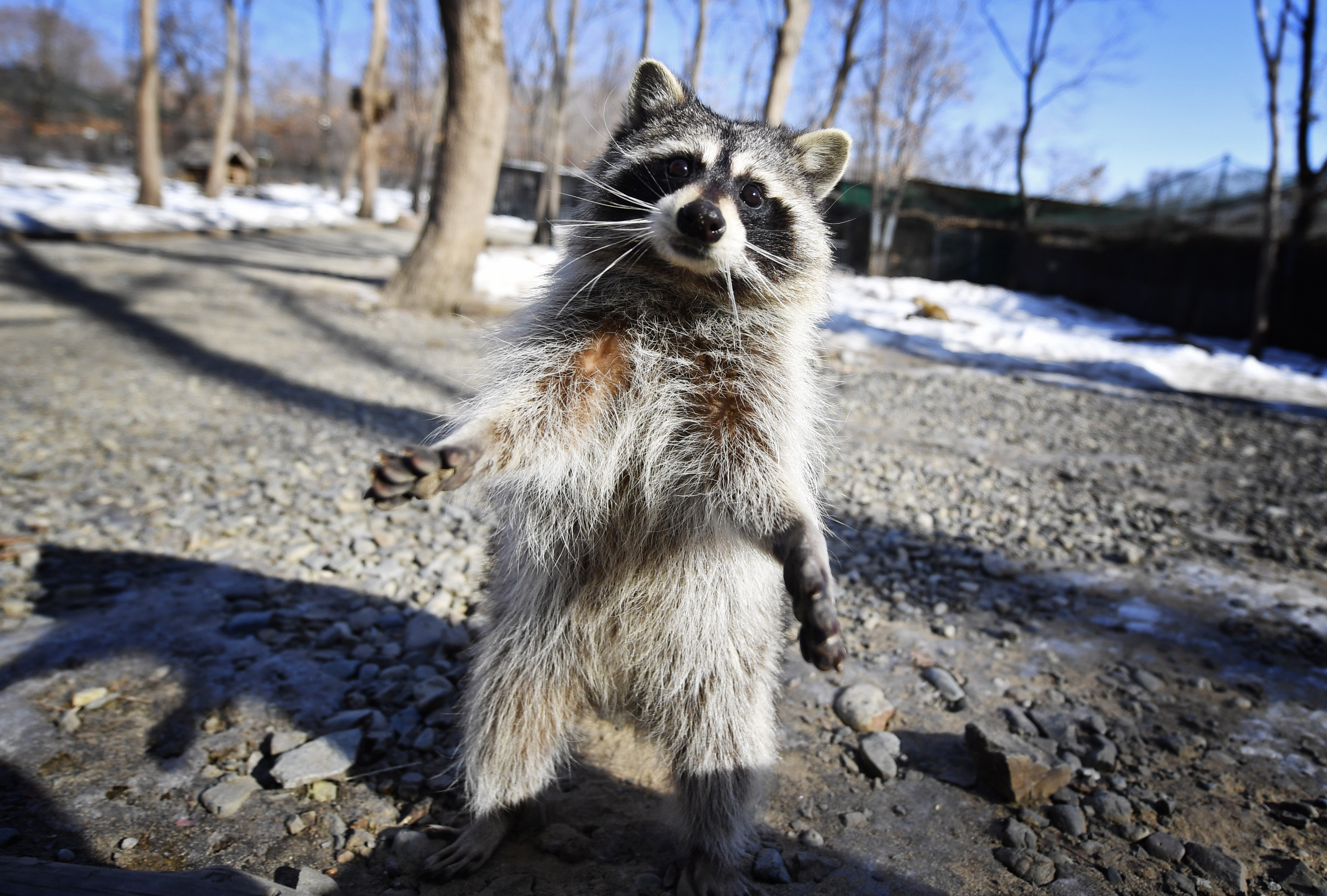 PRIMORYE TERRITORY, RUSSIA - FEBRUARY 7, 2017: A raccoon at the Primorye Safari Park in the village of Shkotovo. Yuri Smityuk/TASS (Photo by Yuri SmityukTASS via Getty Images)