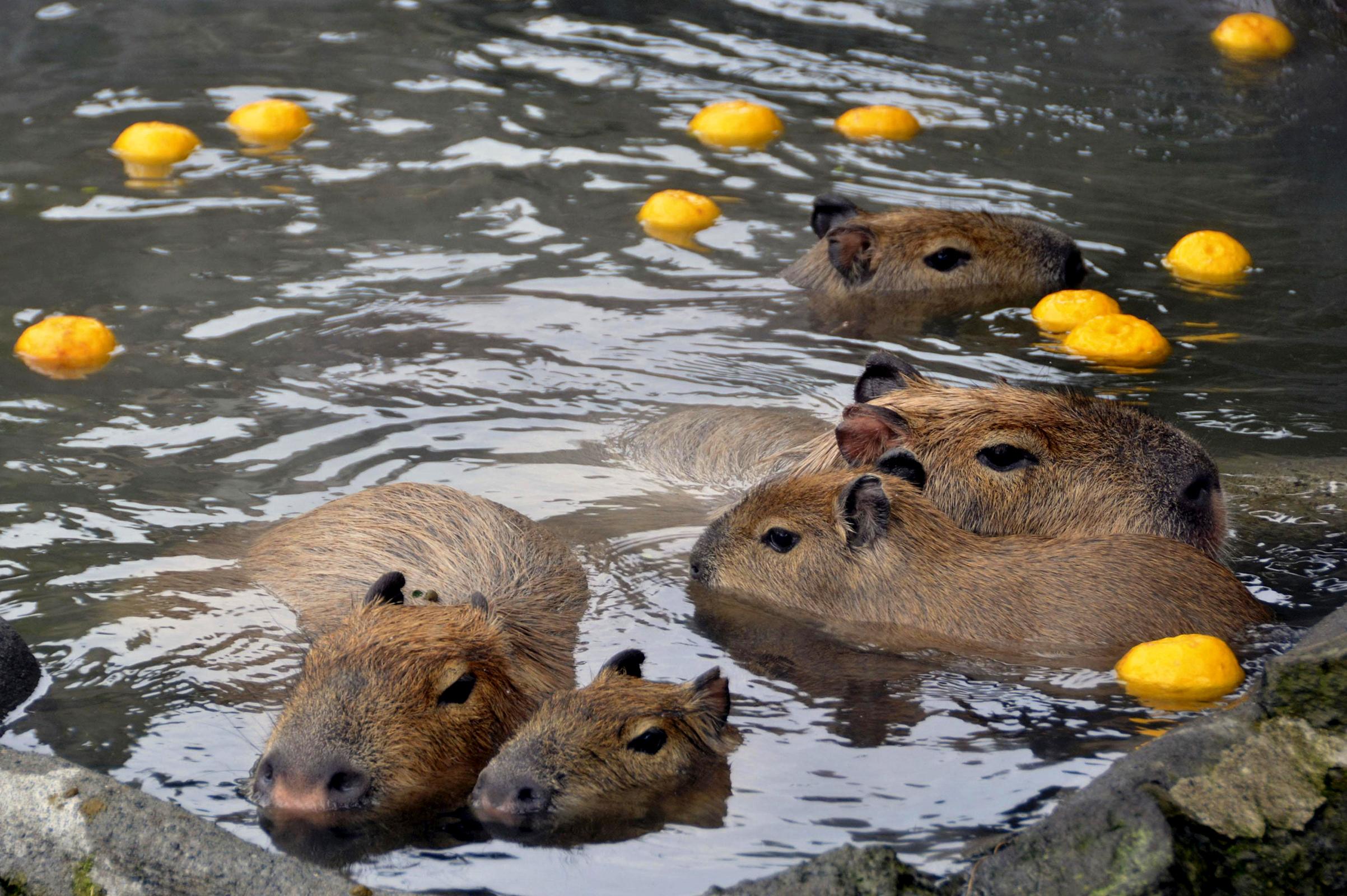 A pair of adult capybara and three babies take a yuzu-yu, or a hot bath with yuzu citrus fruits, a winter solstice ritual in Japan.
