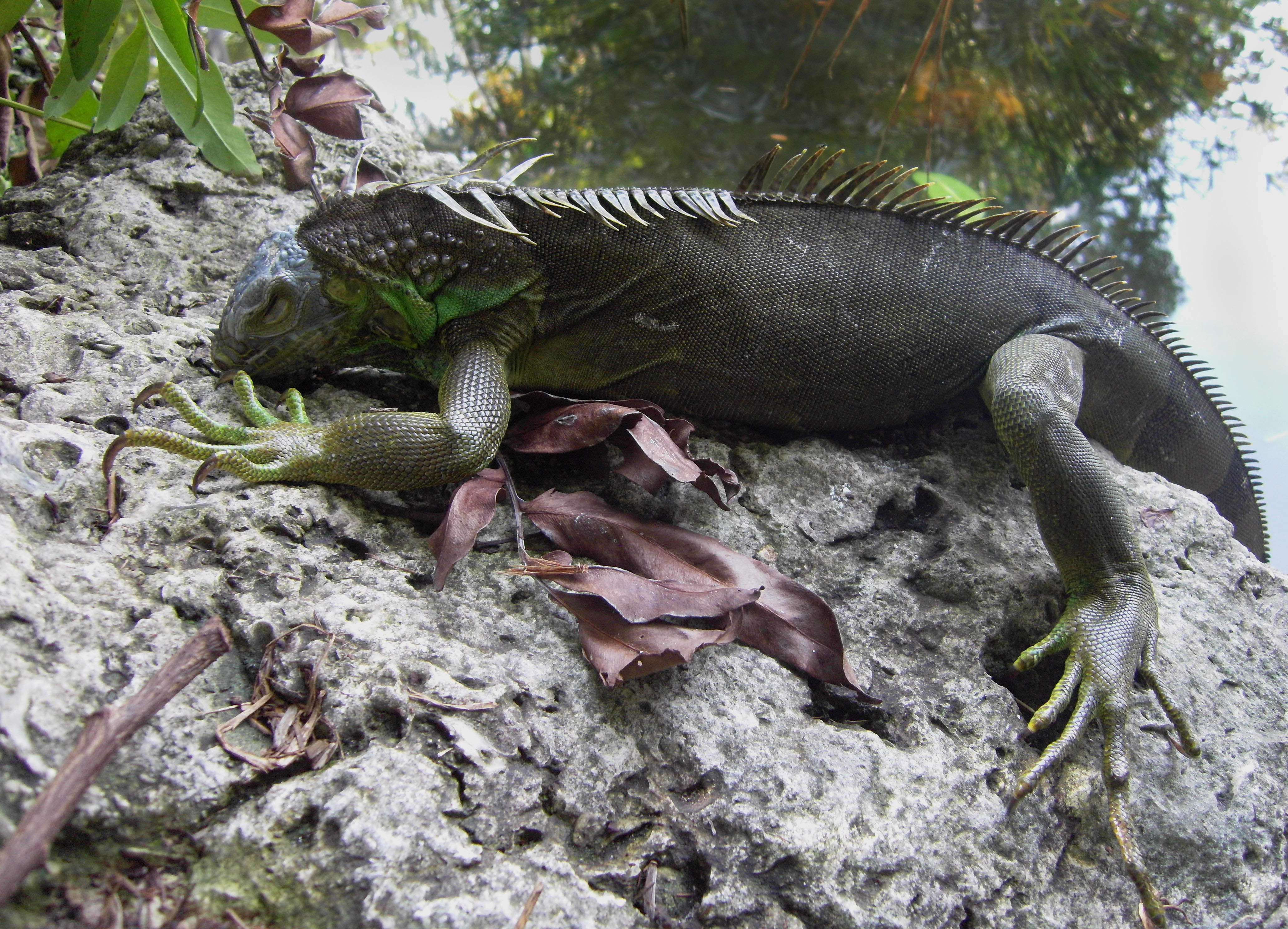 An iguana which fell from a tree climbs a rock in Miami.