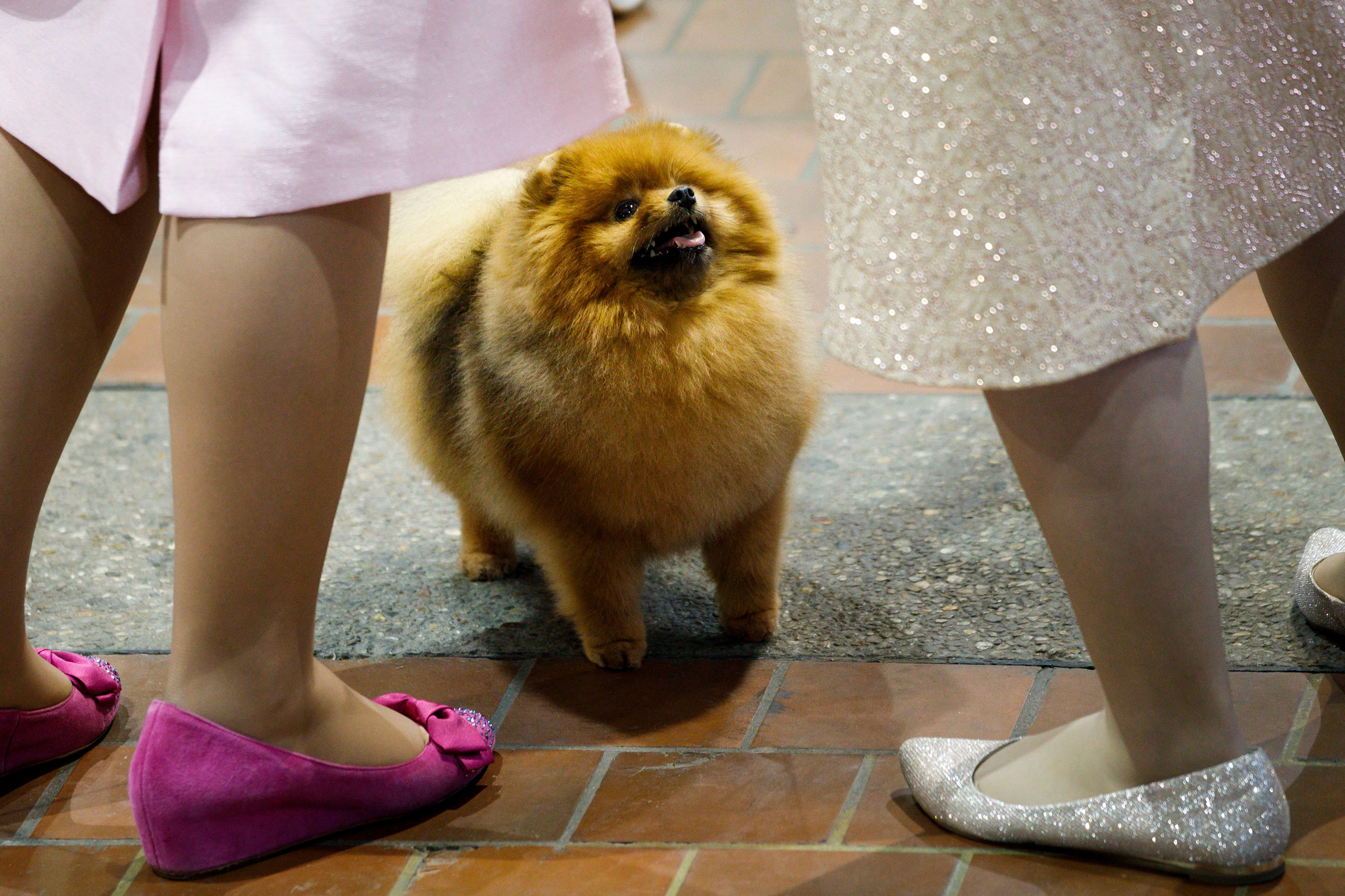 A Pomeranian named 'Fireball' looks for a treat during the 2018 Westminster Kennel Club Dog Show.