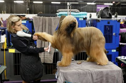 Jambo, a Briard breed, is groomed in the benching area on Day One of competition at the Westminster Kennel Club 142nd Annual Dog Show in New York, on Feb. 12, 2018.