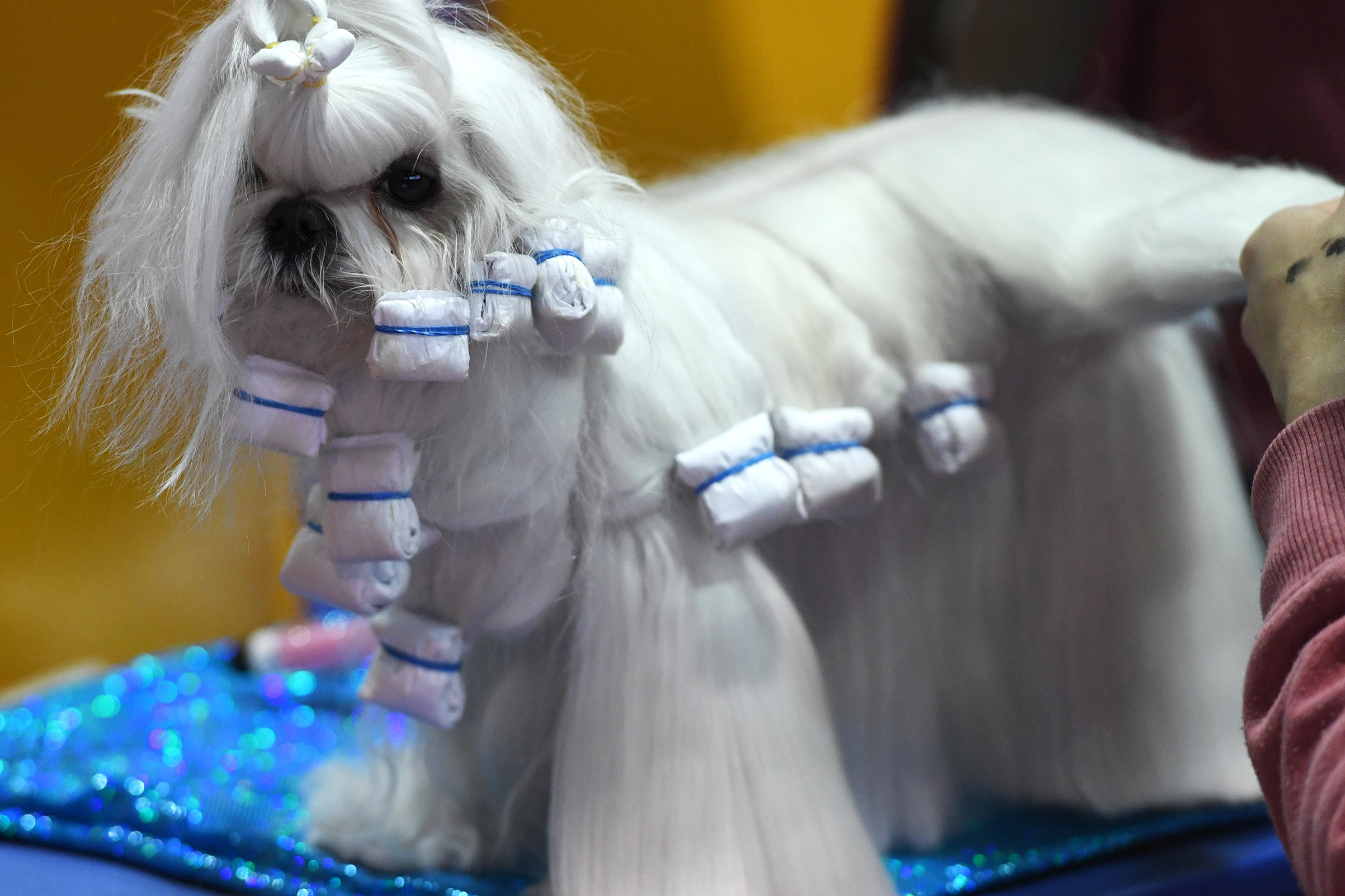 A Maltese waits in the benching area on Day One of competition at the Westminster Kennel Club 142nd Annual Dog Show in New York on Feb. 12, 2018.