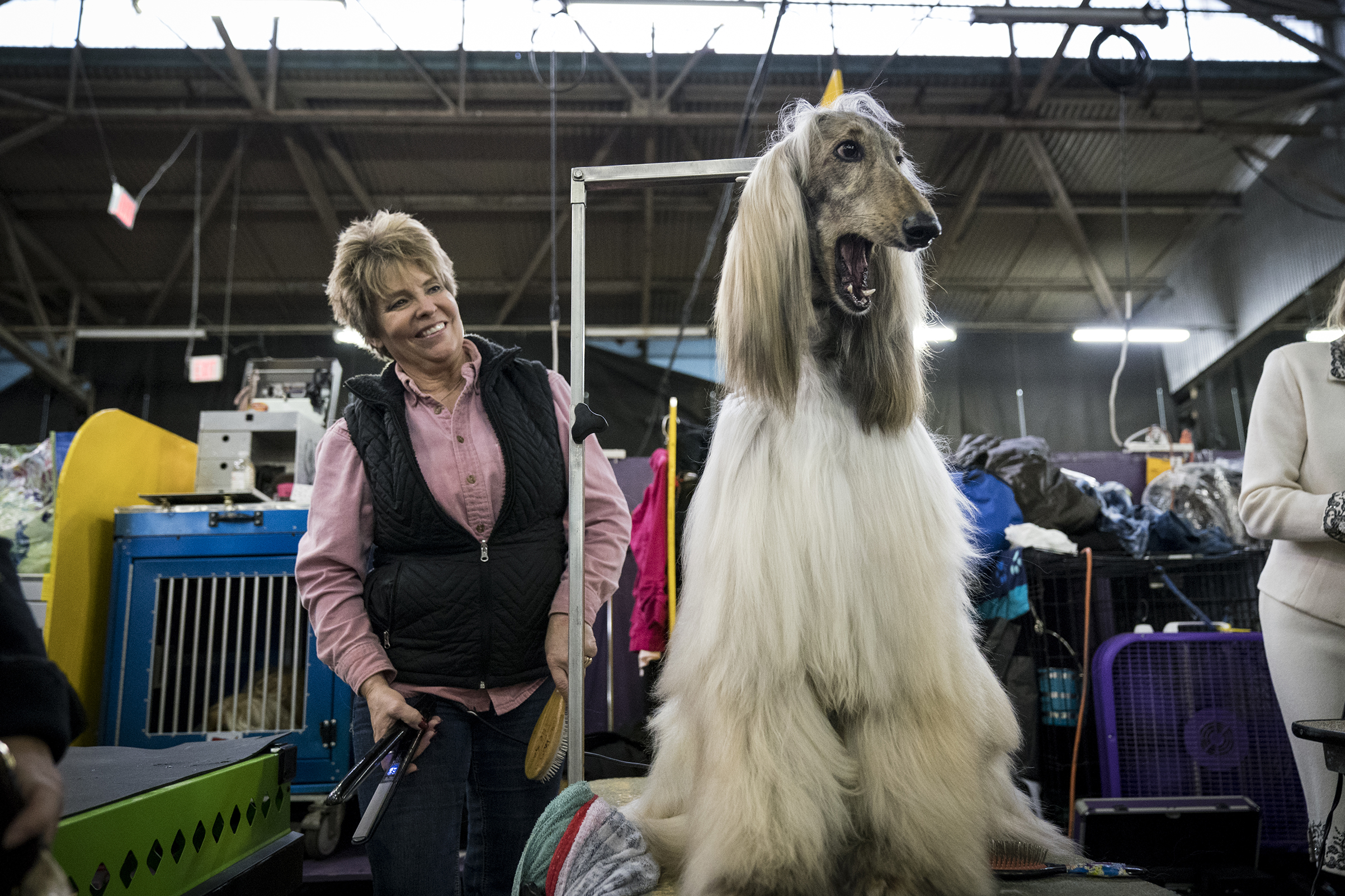 Divin the Afghan Hound yawns while sitting backstage in the grooming area at the 142nd Westminster Kennel Club Dog Show at The Piers in New York on Feb. 12, 2018.