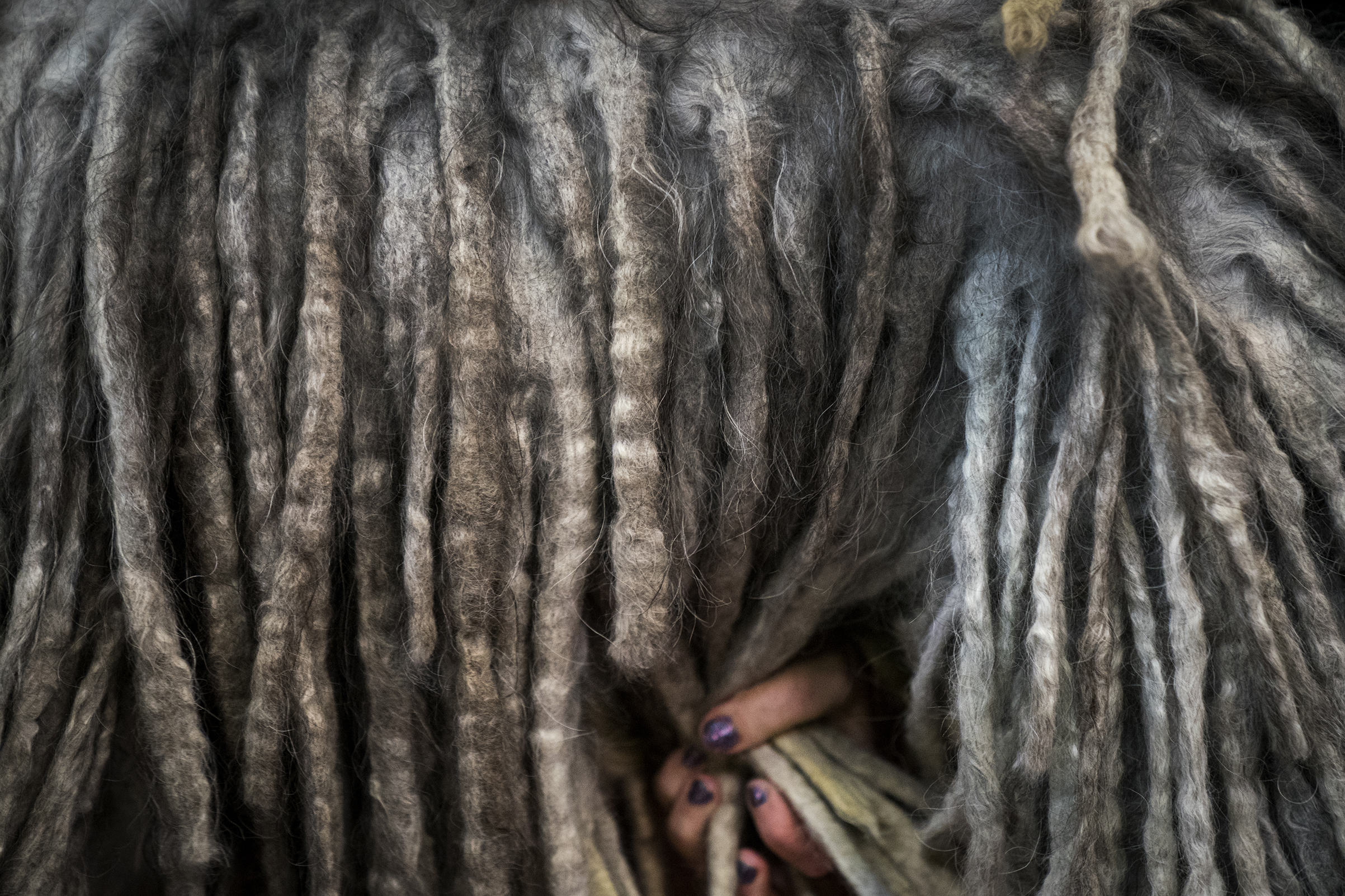 A Bergamasco Sheep Dog is groomed backstage at the 142nd Westminster Kennel Club Dog Show at The Piers in New York on Feb. 12, 2018.