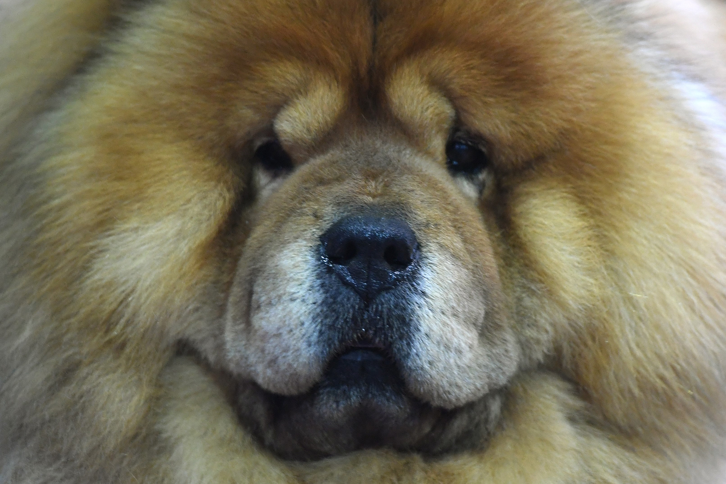 A Chow Chow waits in the benching area during Day One of competition at the Westminster Kennel Club 142nd Annual Dog Show in New York on Feb. 12, 2018.