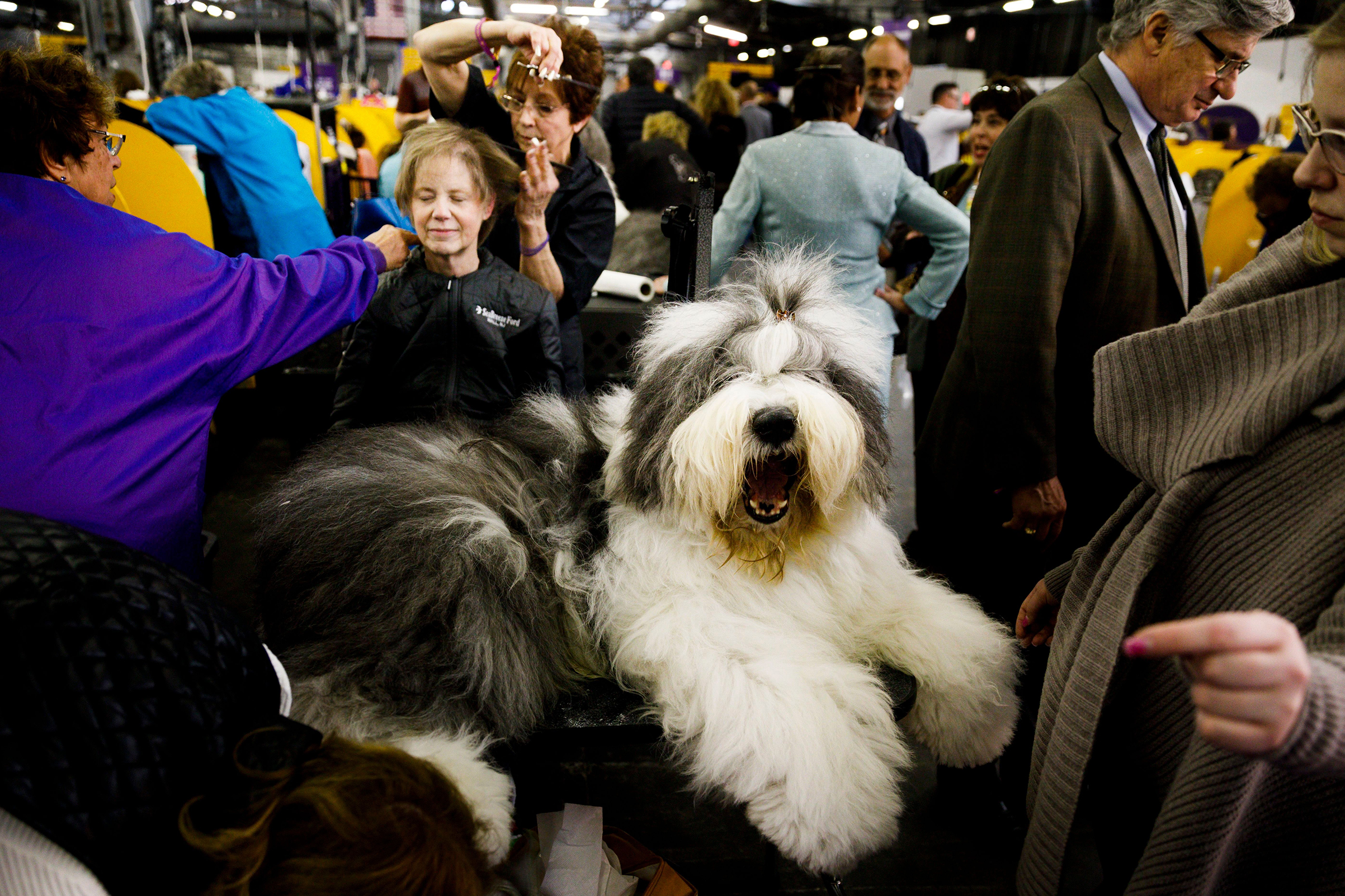 An Old English Sheepdog named 'Champion Haystacks Montgomery Spartan General' is groomed for competition as a woman gets a hair cut in the background during the 2018 Westminster Kennel Club Dog Show in New York, on Feb. 12, 2018.