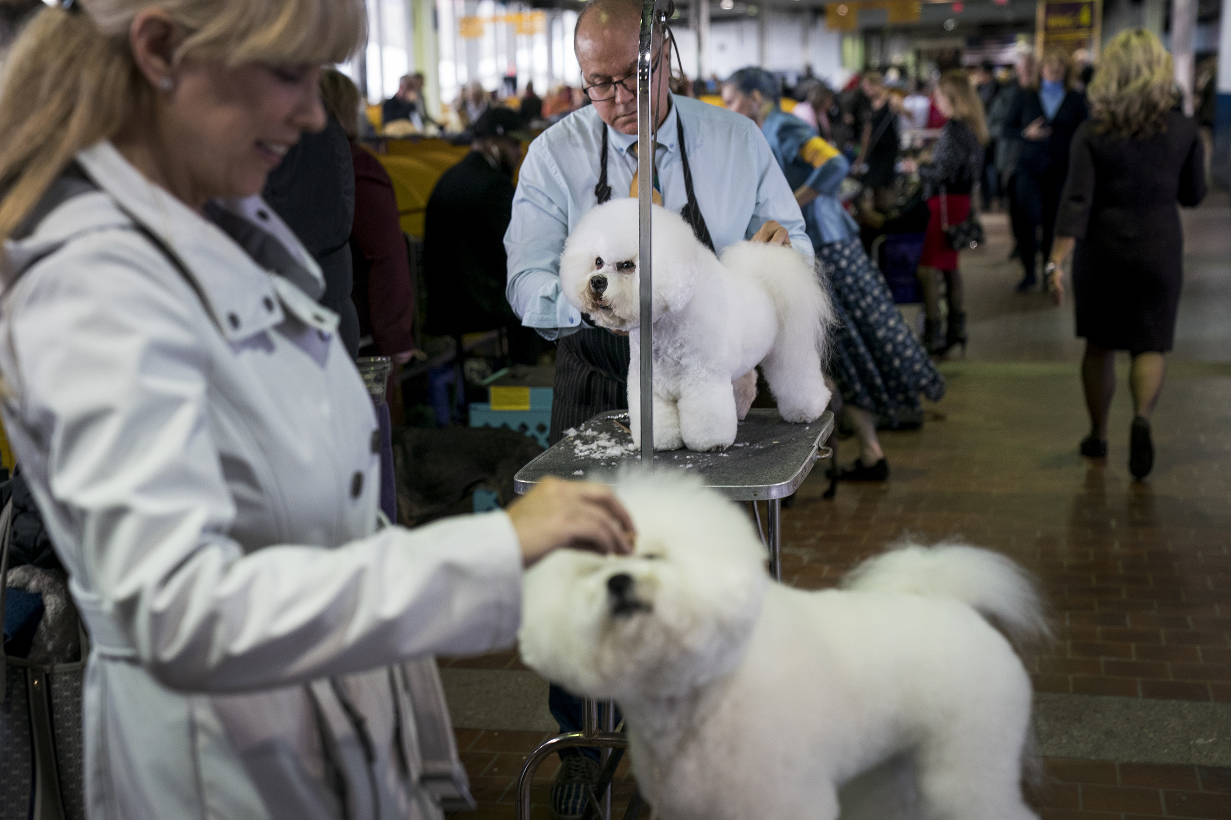 Bichon Frise dogs get groomed backstage at the 142nd Westminster Kennel Club Dog Show at The Piers in New York on Feb. 12, 2018.