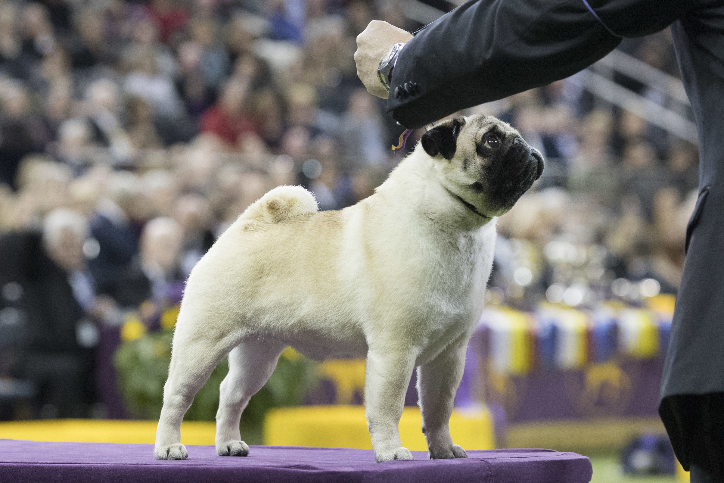 Esteban Farias shows Biggie, a pug, in the ring during the Toy group competition during the 142nd Westminster Kennel Club Dog Show.