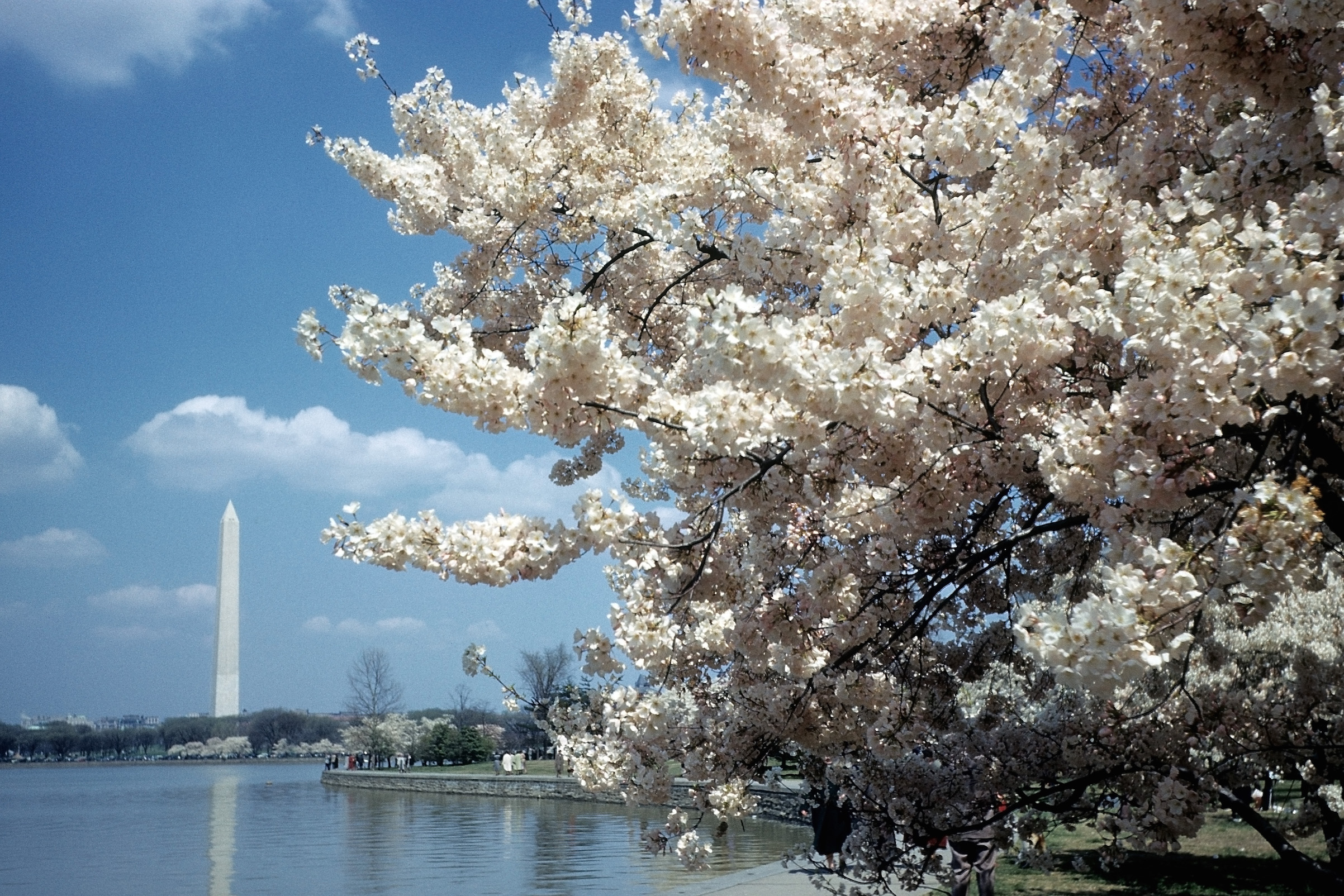 A view of the cherry blossoms and the Washington Monument and the Tidal Basin in Washington, D.C., circa 1948