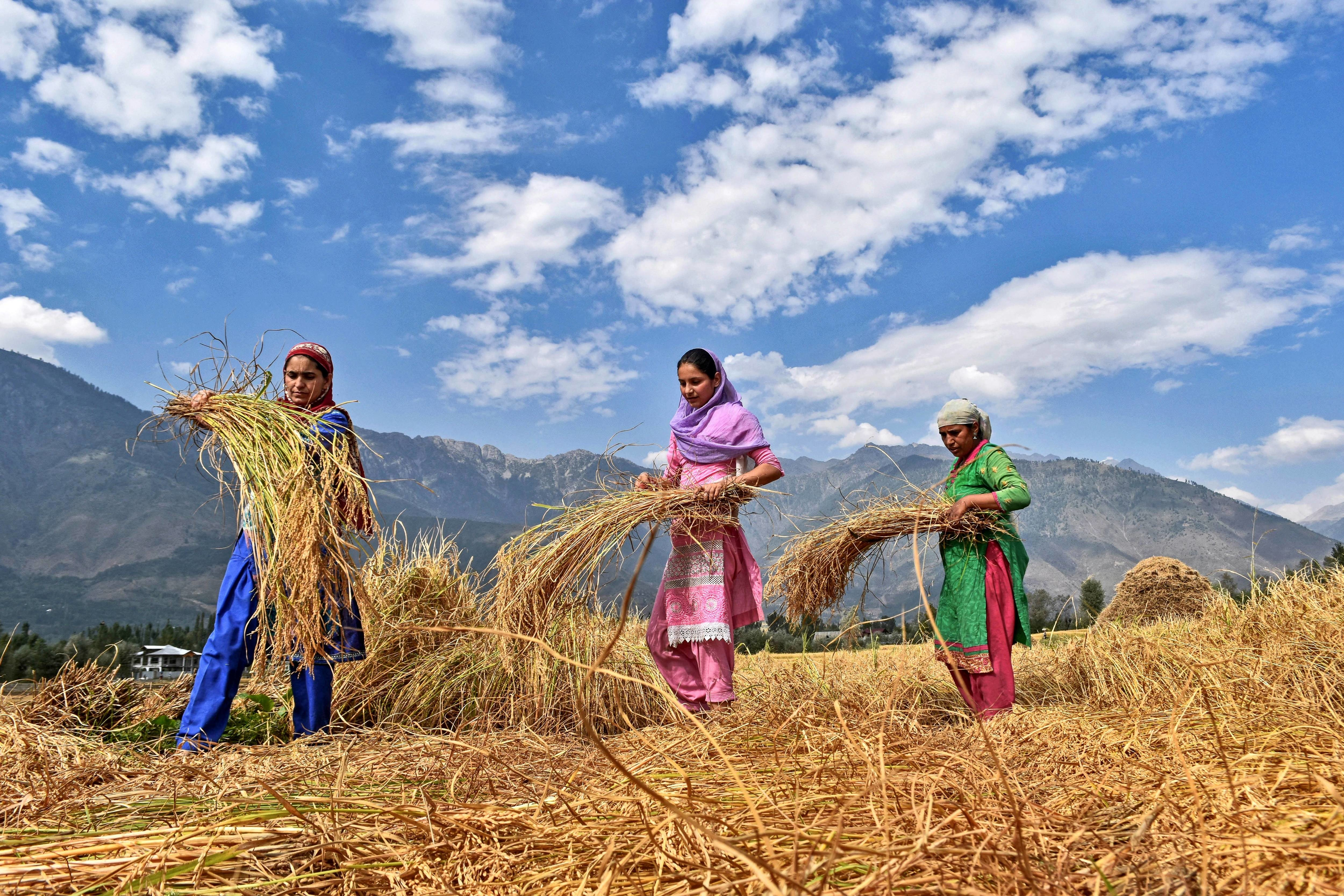 Women in a paddy field during rice harvesting season in Srinagar,Indian administered Kashmir on Sept. 24, 2017.