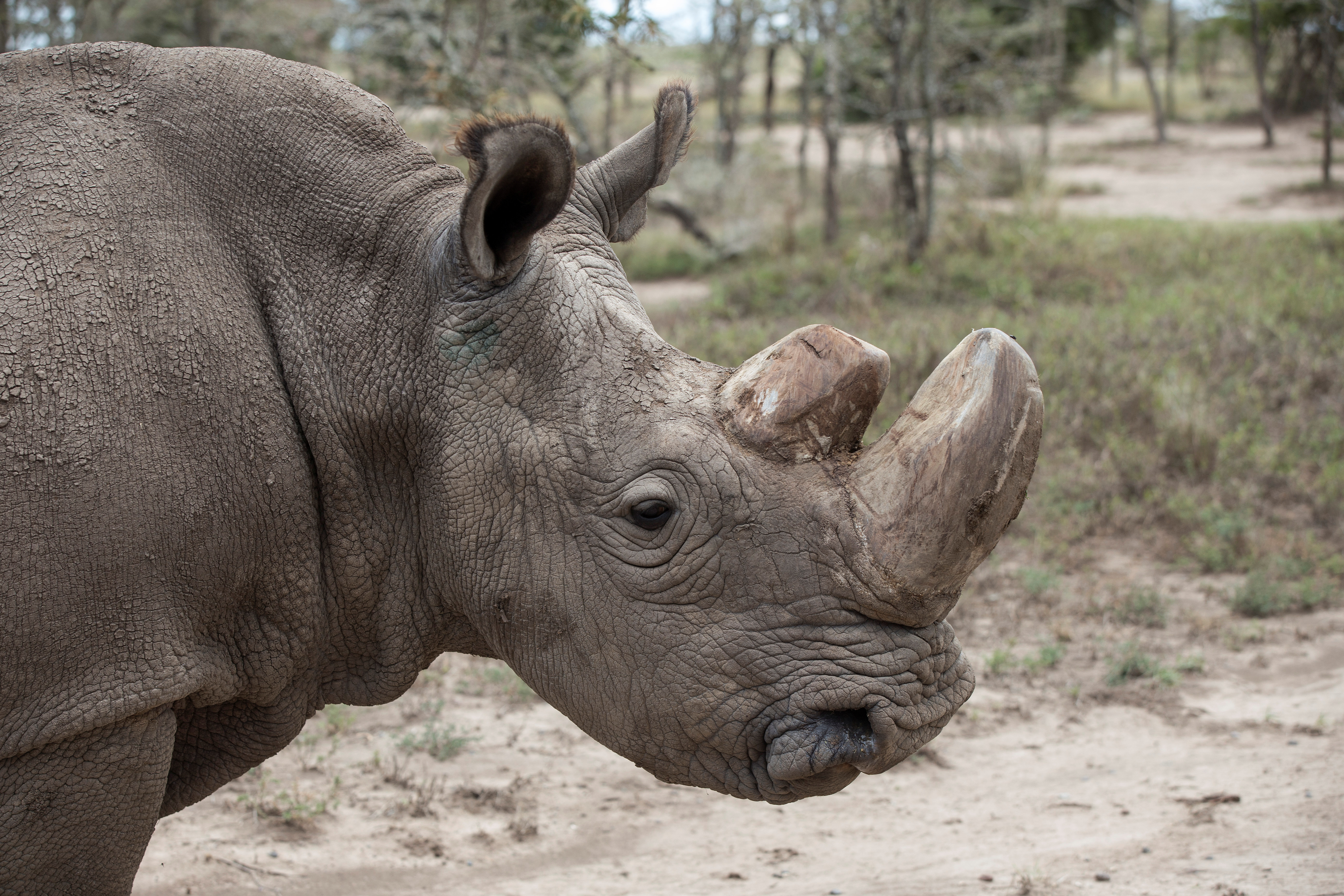 Sudan, the last male northern white rhino in the world, at the Ol Pejeta Conservancy in Laikipia National Park, Kenya on May 3, 2017.  Sudan was euthanized on March 19, 2018, officials at Ol Pejeta said.