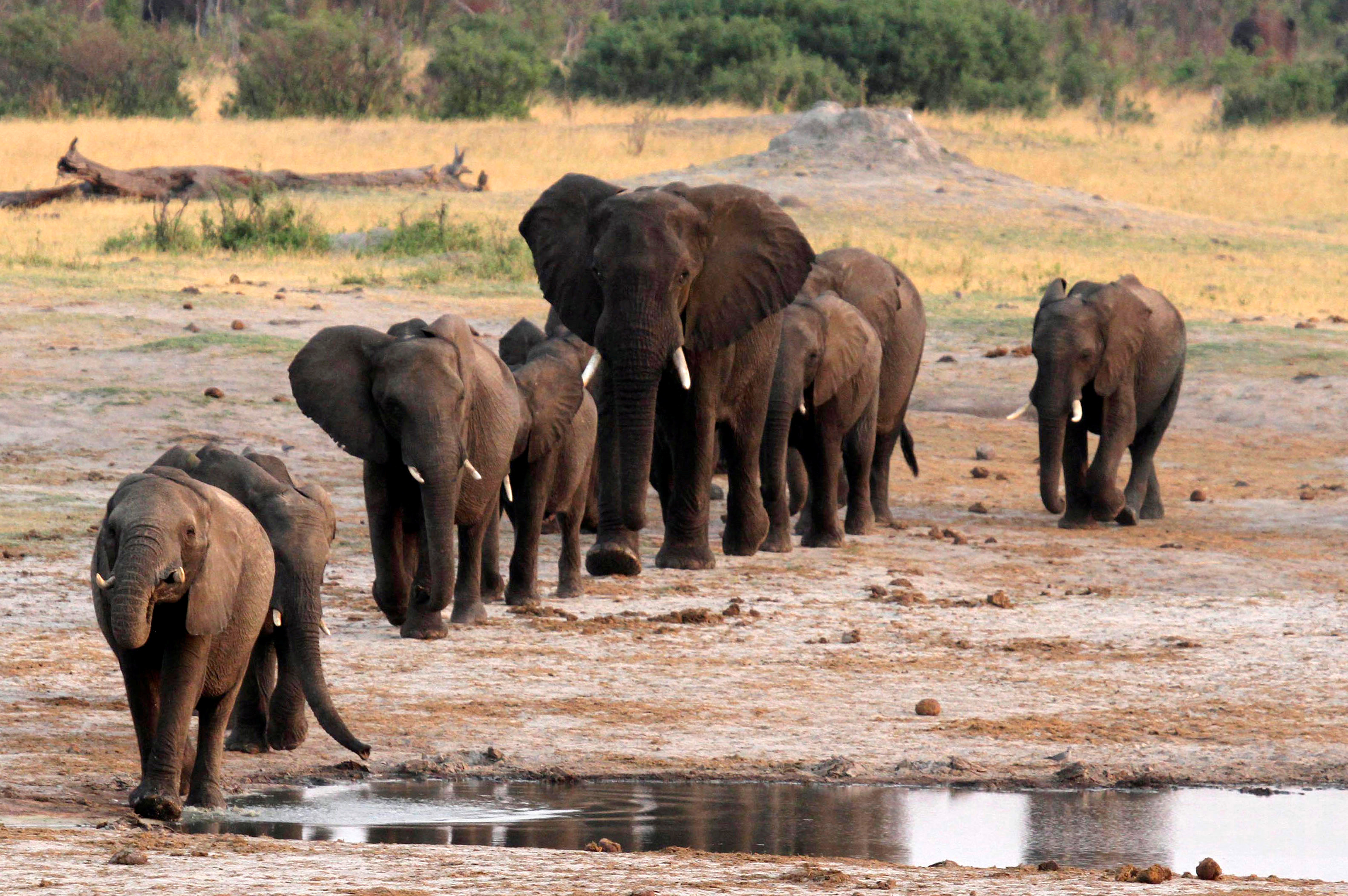 A herd of elephants walk past a watering hole in Hwange National Park, Zimbabwe, Oct. 14, 2014.