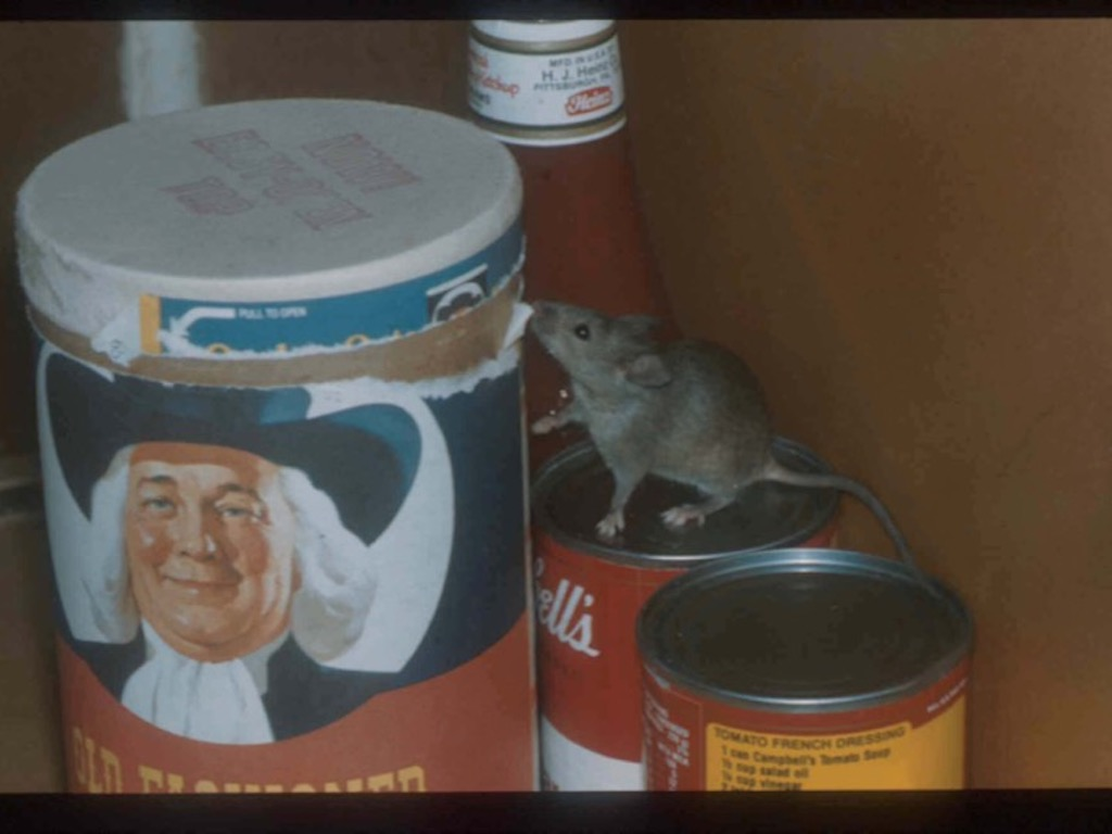 A mouse in one of the buildings where researchers collected samples.