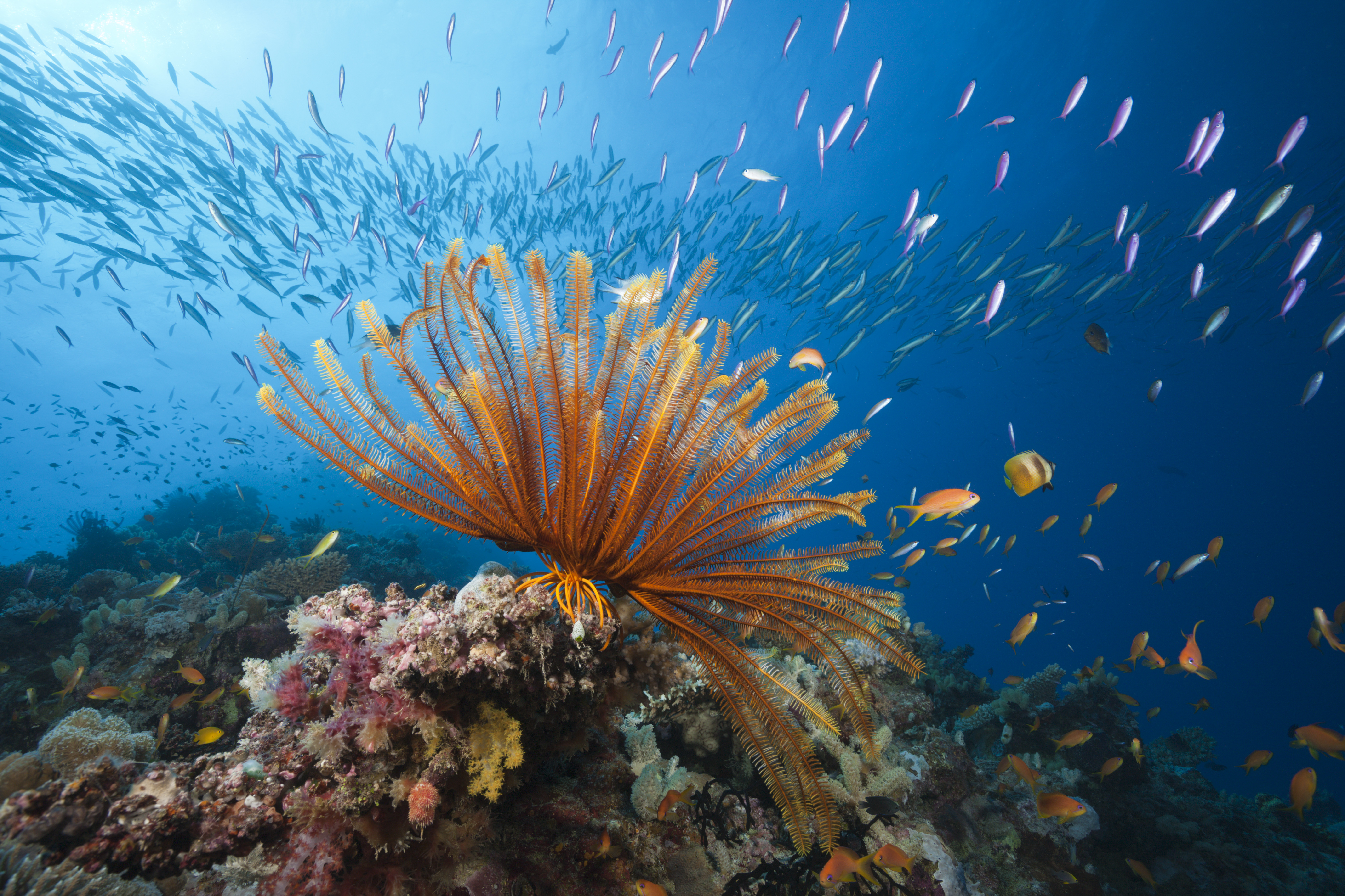 Reef Scene with Crinoid and Fishes, Great Barrier Reef, Australia April 20, 2015