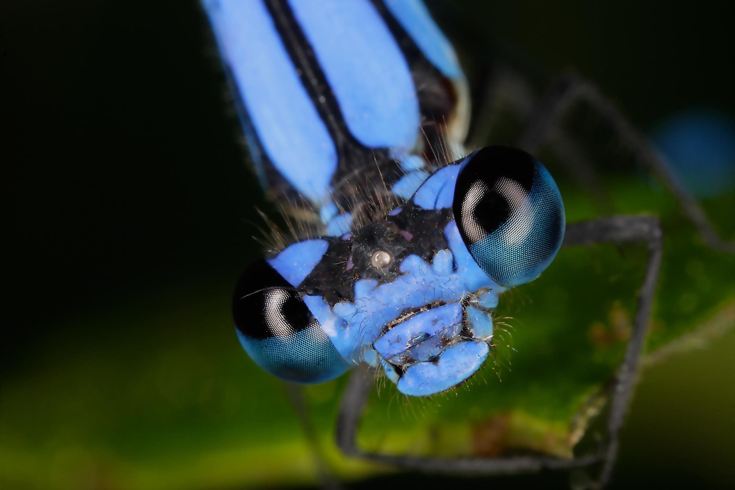 Damselfly, order Odonata, suborder Zygoptera.