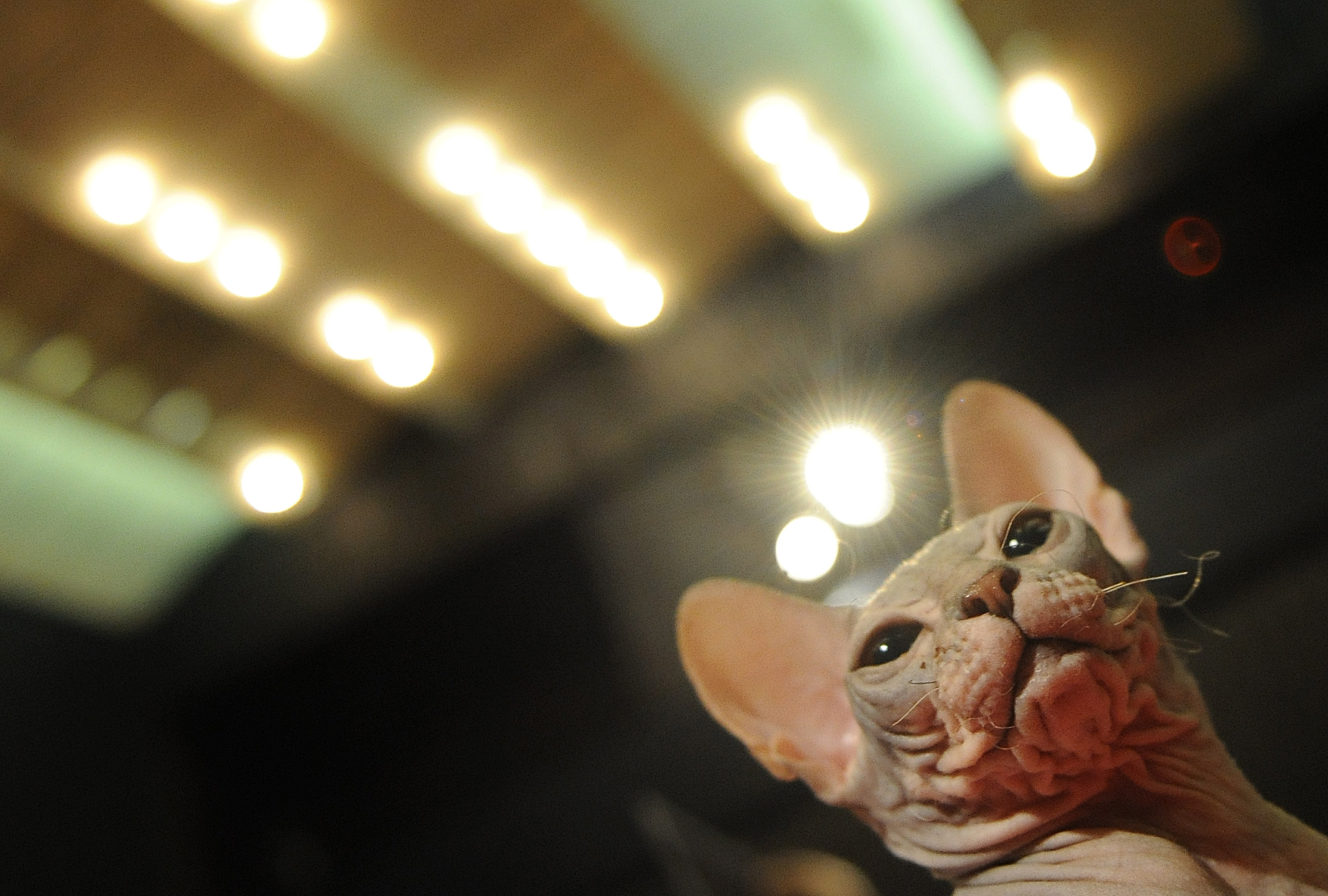 A three months old Canadian Sphynx breed cat is pictured on August 6, 2011 during the two-day international cat exhibition of Bratislava.