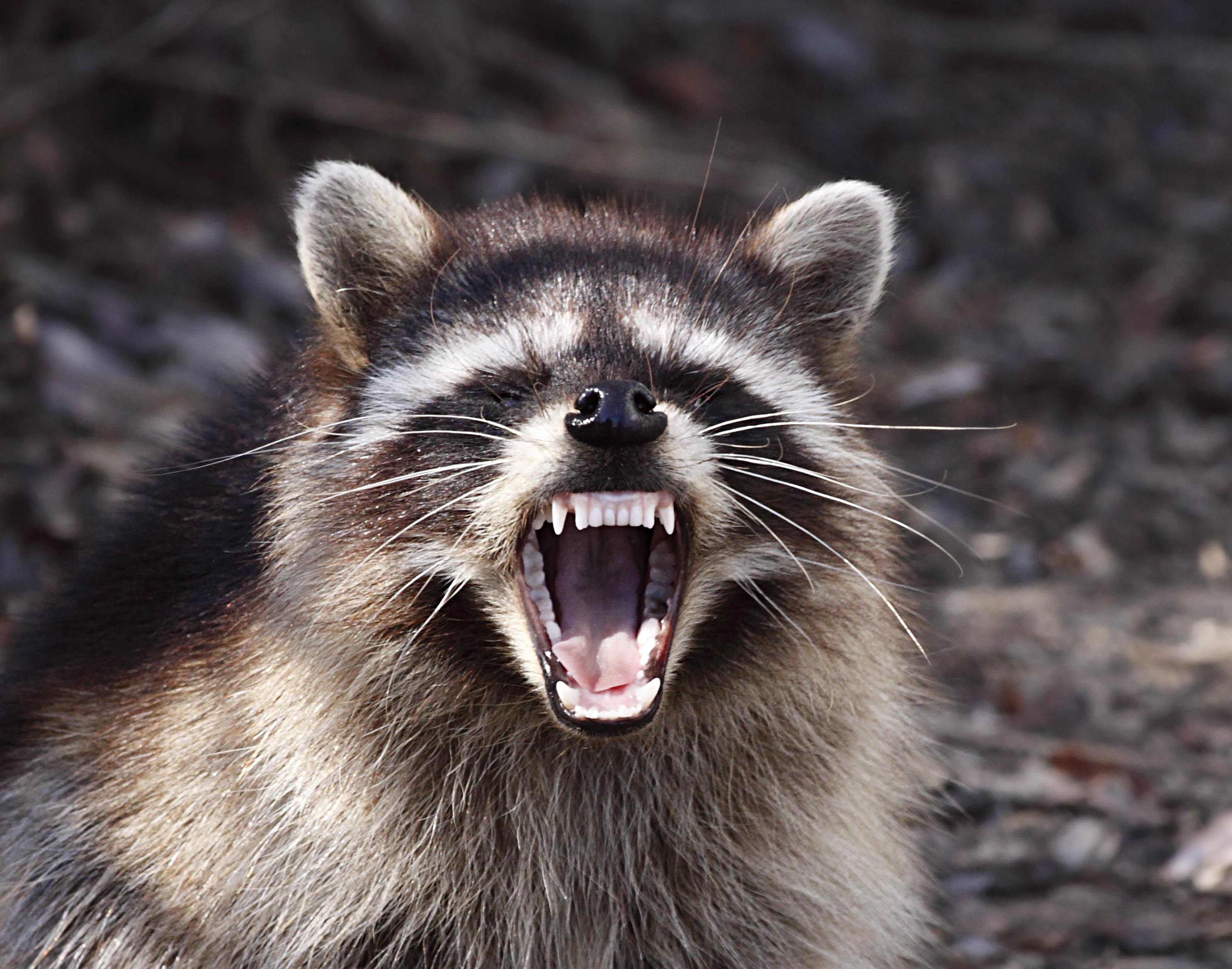 Raccoon near Guadalupe, California