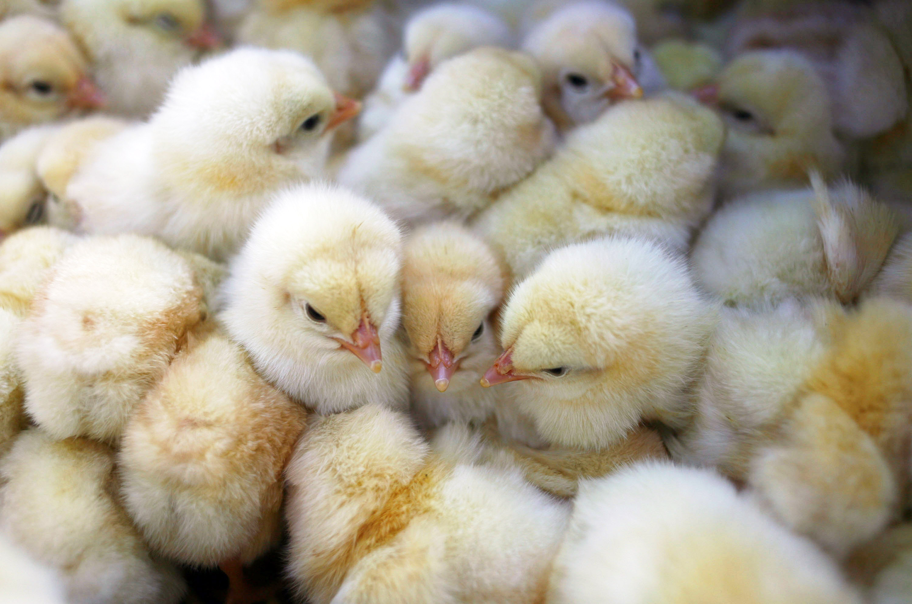 Chicks are displayed by a vendor on March 3, 2009. Belgian firefighters gassed 20,000 chicks which were suffocating in a cargo container on the tarmac at Brussels Airport.