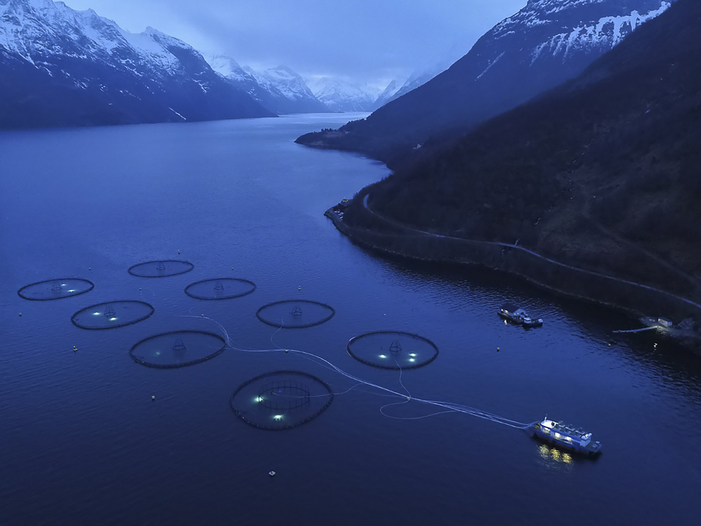 Sagelva salmon farm, on Hjorrund Fjord, with 200,000 atlantic salmon in each of eight pens. All the fish come from parents that were captured in the Vosso River (near Bergen) in 1960. The fish are fed from a barge via tubes that spray pellets of fish meal, fish oil, and soy beans into the water. I was told that no antibiotics are used, but some colorants are added to the food to give their flesh the orange color typical of wild salmon. The fish average 18 months in the pens and go from 200 grams to 5 kg, and gain approximately 1 kg of body weight for every 1 kg of food. The fjord is approx 70m deep underneath the pens, and goes to over 441m (?) in the center, allowing the fish excrement to become widely distributed with the tidal action, while the fjord protects the pens from wind and wave damage. After each generation of fish (18 months) the pens are left empty for six months to be cleaned and reduce the risk of diseases and parasites. The peaks beside the fjord rise to 1,564 M. This farm is owned and managed by Marine Harvest, the biggest grower of farmed salmon in the world, with approx. 25% of market share.