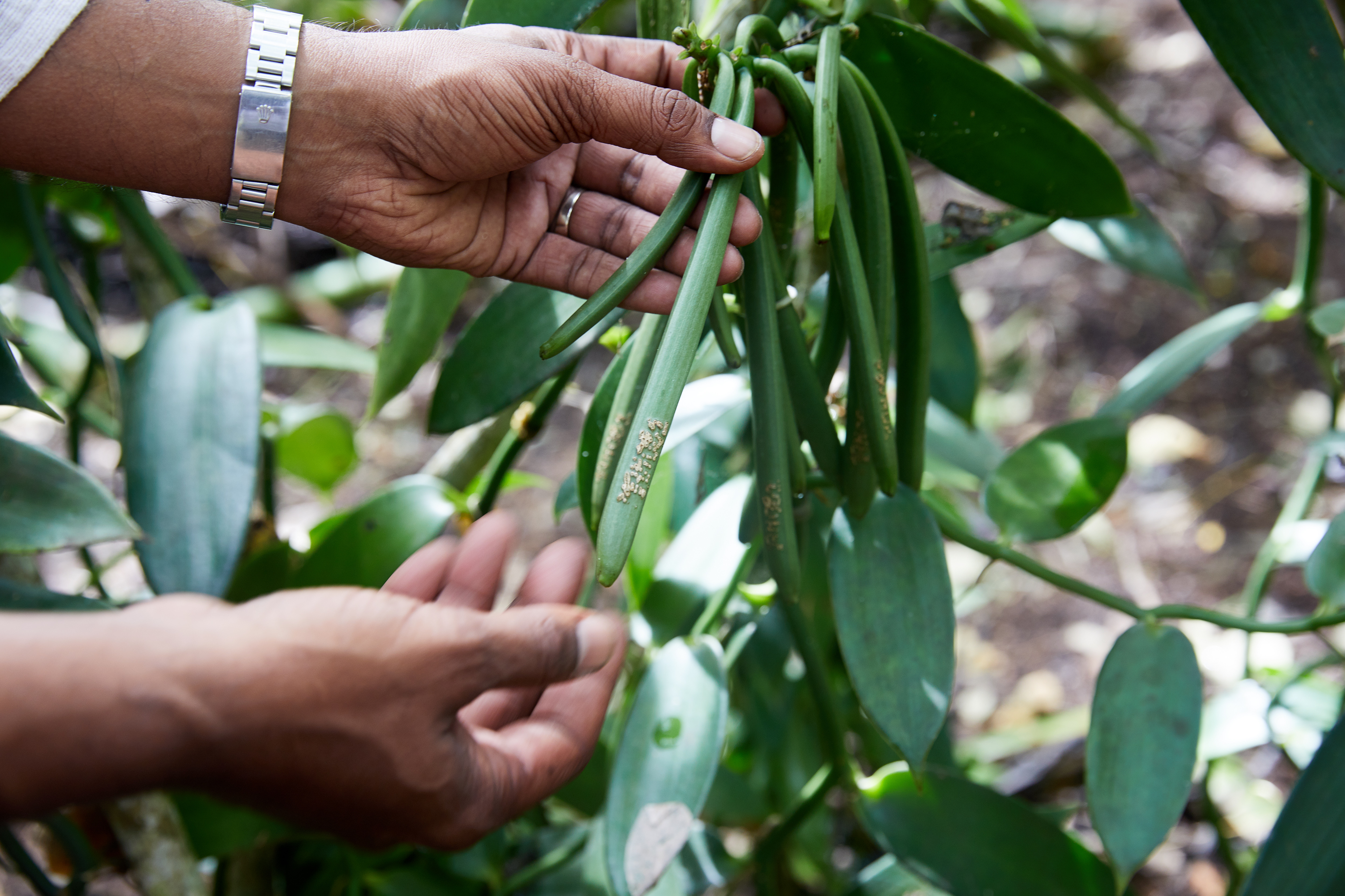 Plantation owners are stamping vanilla pods to tackle high theft levels.