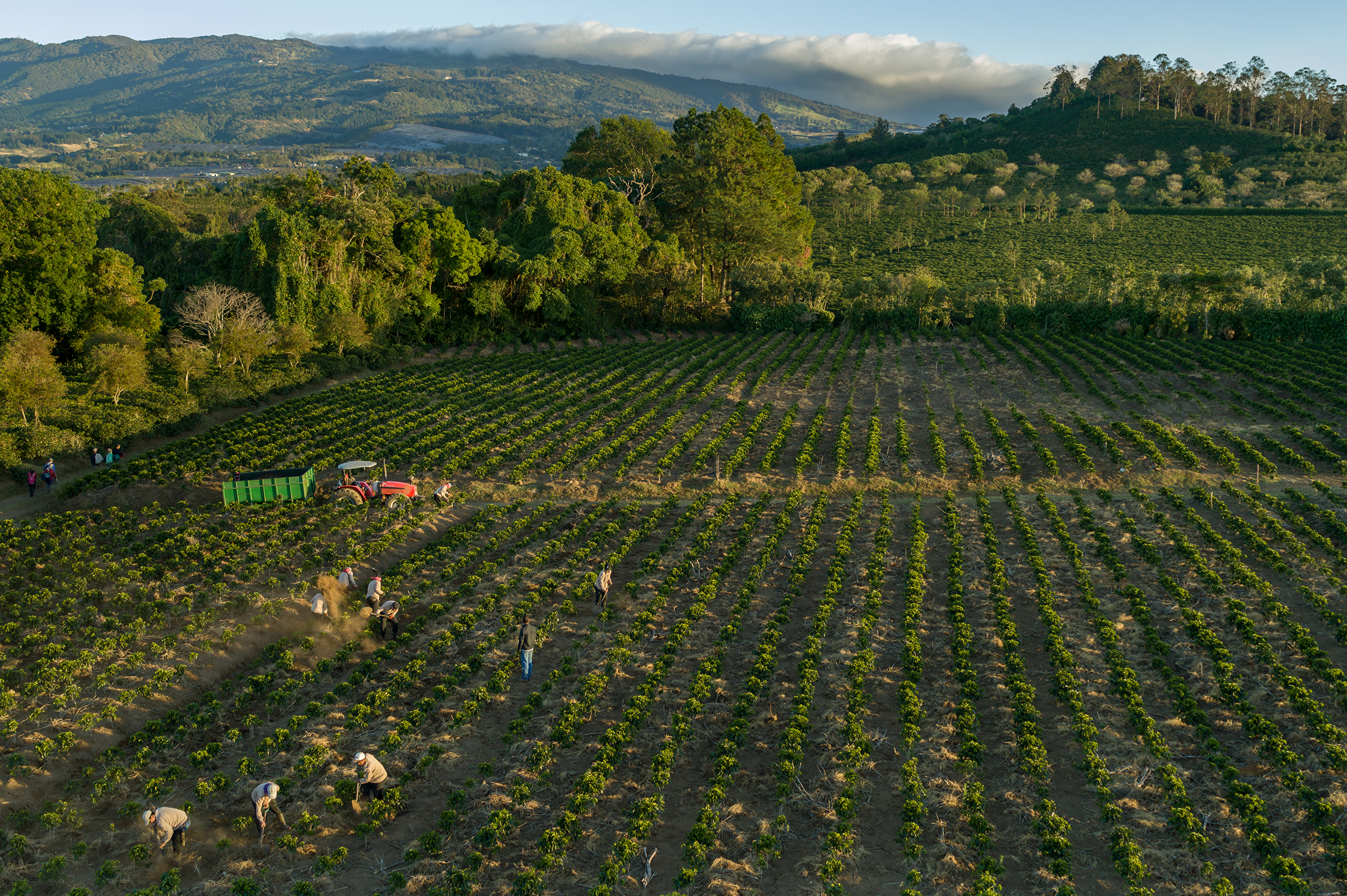 Workers weed coffee plants at a Starbucks-owned coffee farm in Costa Rica, where climate change could damage the health of the industry