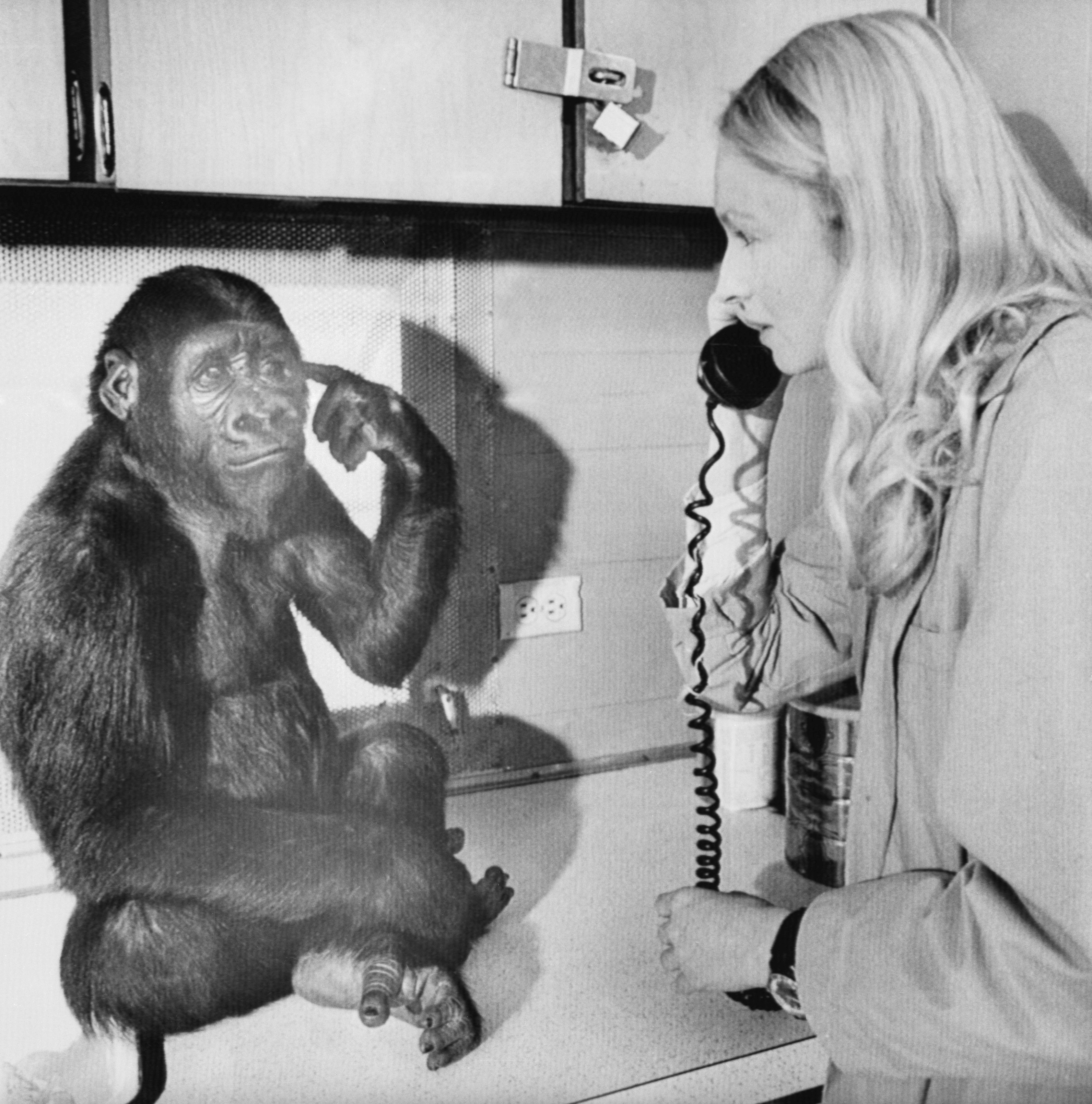 You key there me cookie.  With that sign language, Koko the gorilla tells her mentor; 28-year old graduate student Penny Patterson, to get the key, open the closet and get a goodie out of the cookie jar.