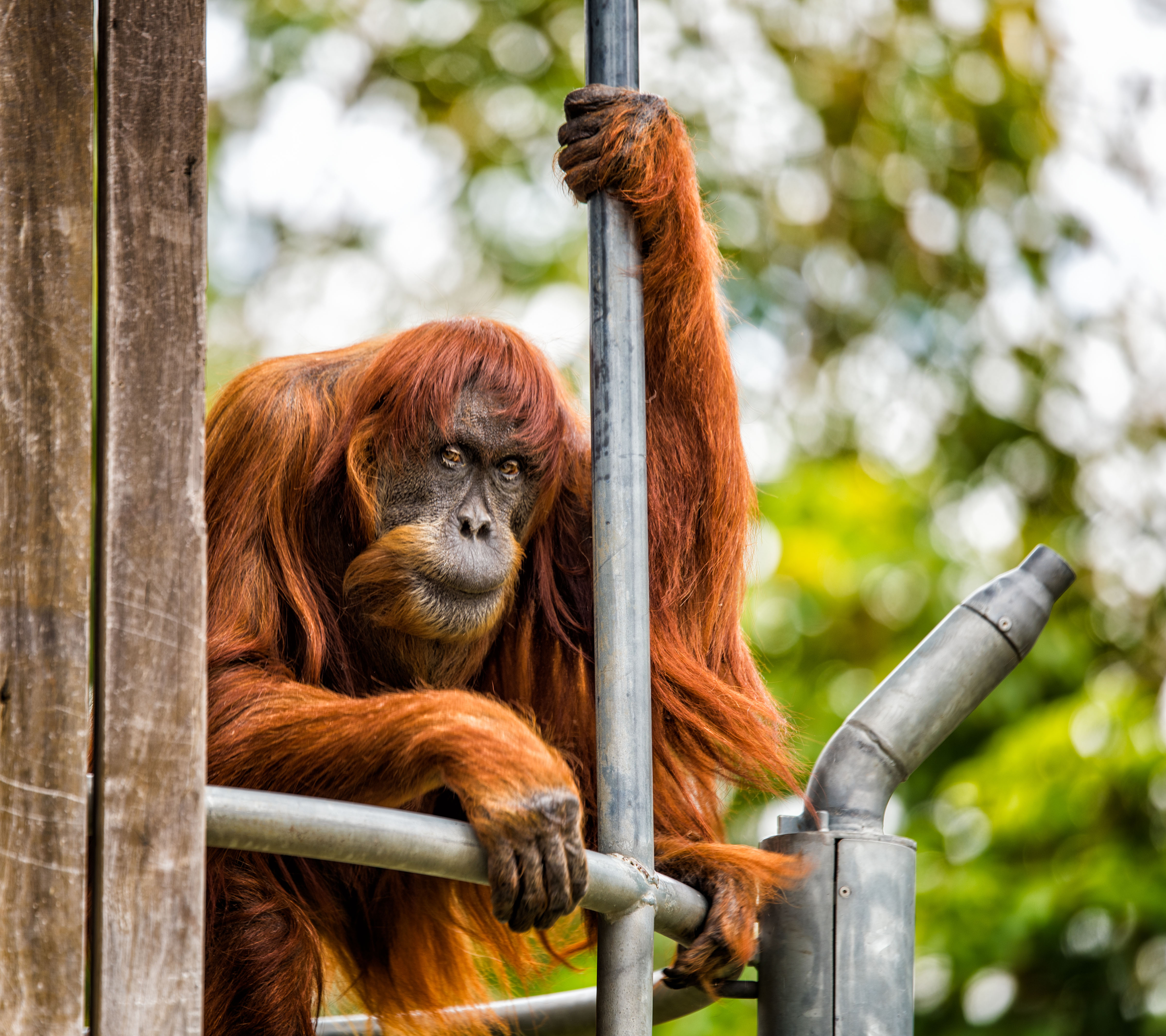Puan the  grand old lady  of Perth Zoo died 19 June, 2018, at the age of 65. She was the world's oldest known Sumatran orangutan and her legacy of 54 descendants helped save the species.