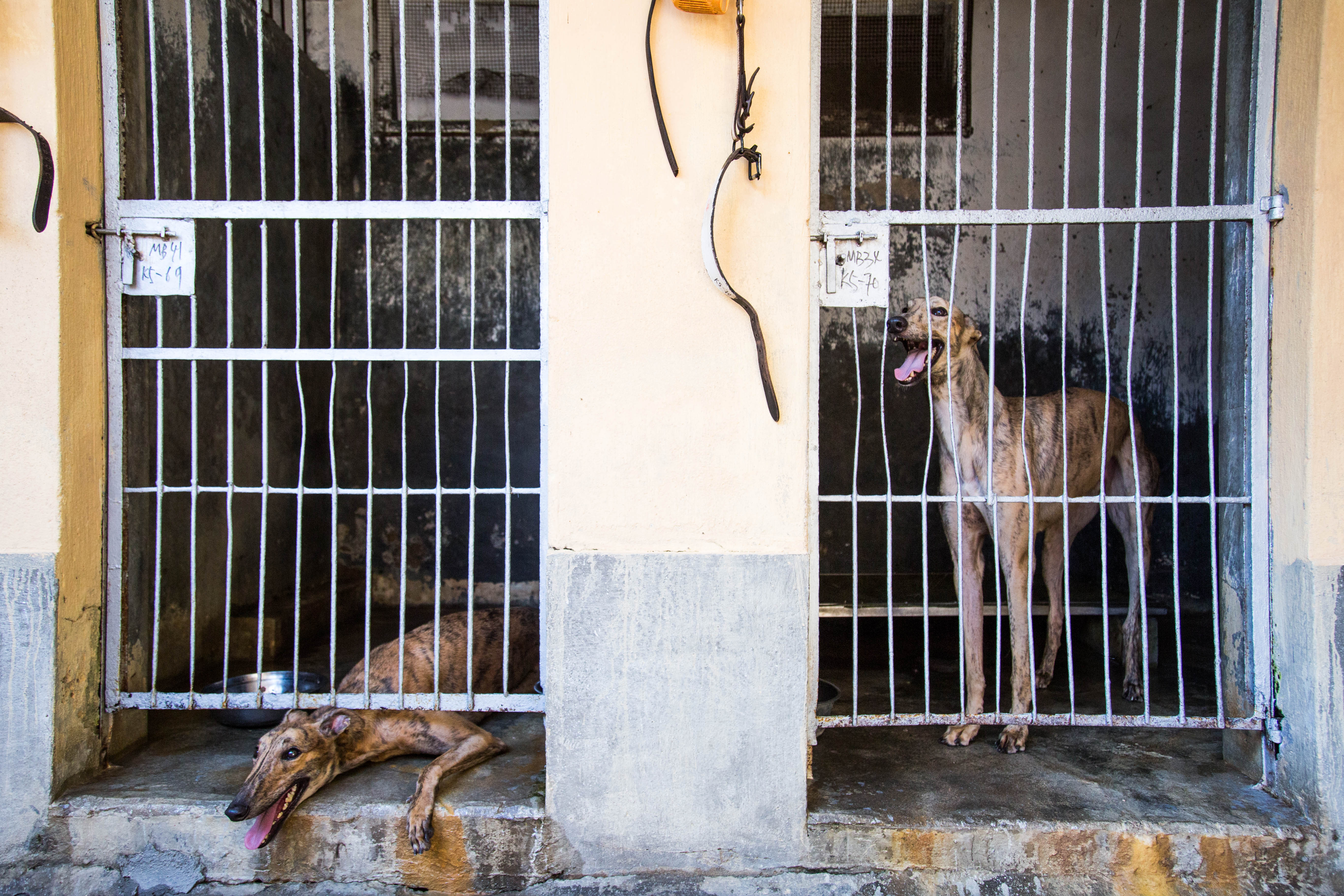 A greyhound kept in Canidrome's kennels in Macau, July 26, 2018.