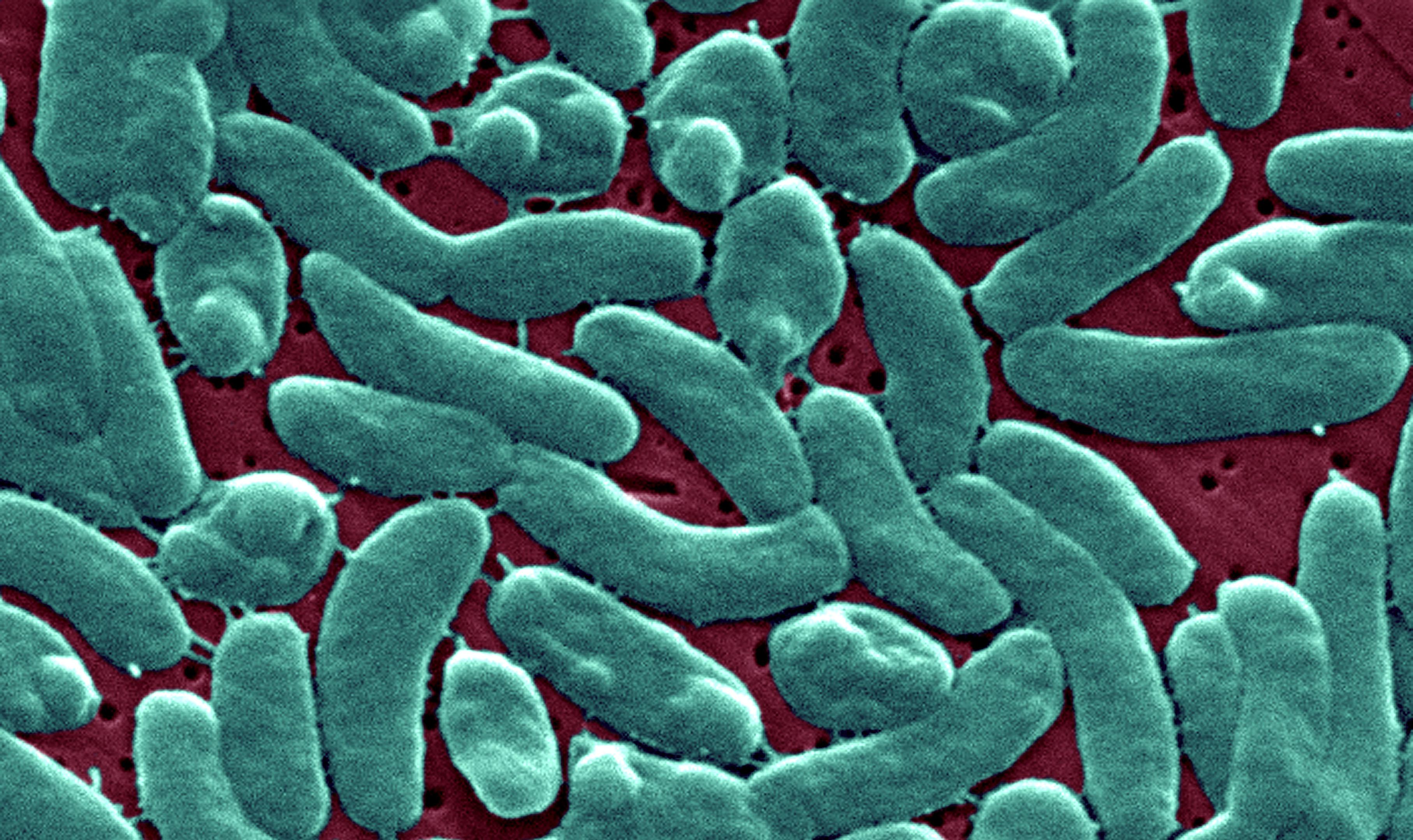 Vibrio Vulnificus bacteria
