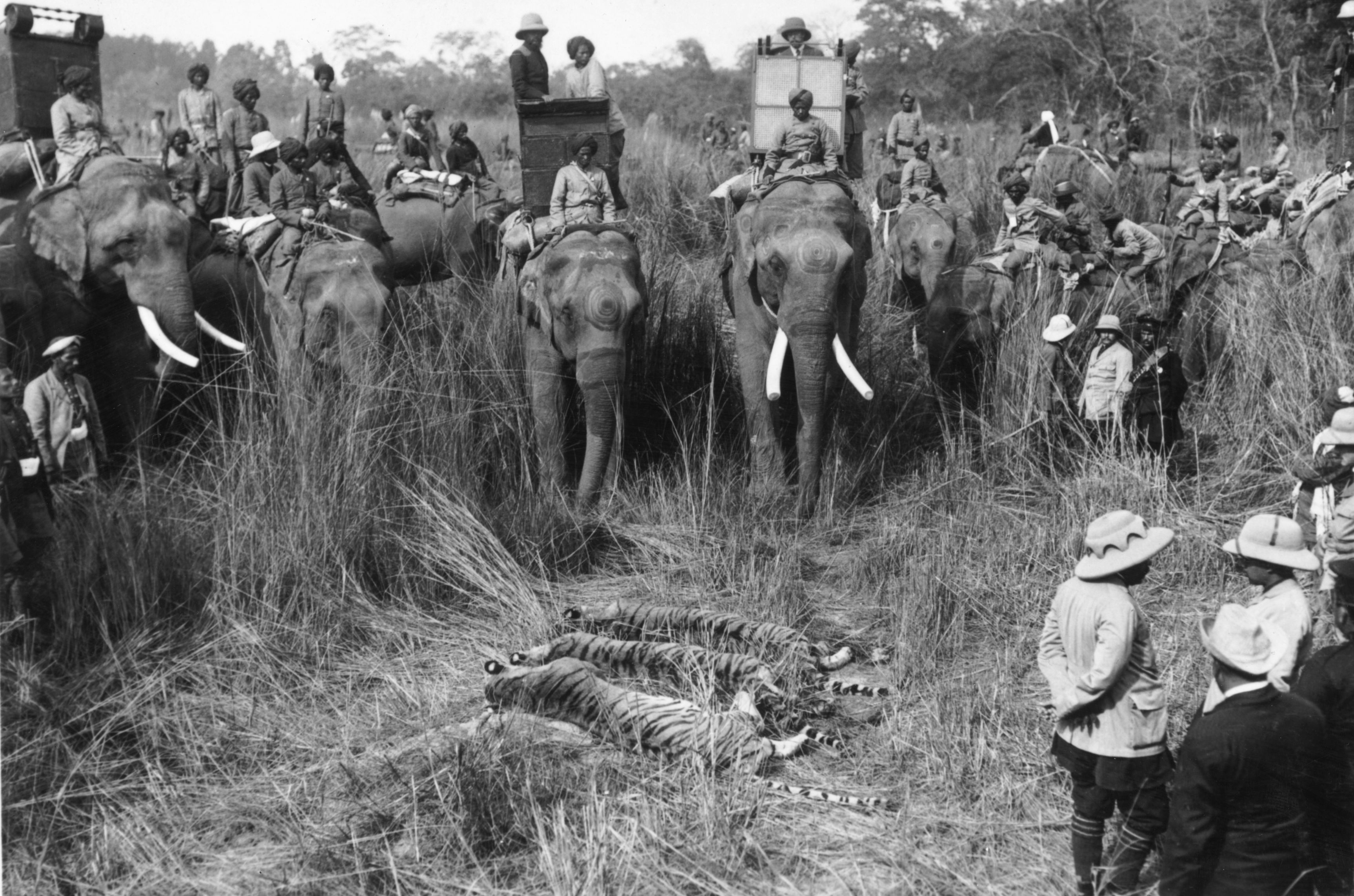 George V (1865 - 1936) with the day's bag of three tigers, after a hunt during the Durbar celebrations. The hunters are mounted on elephants.