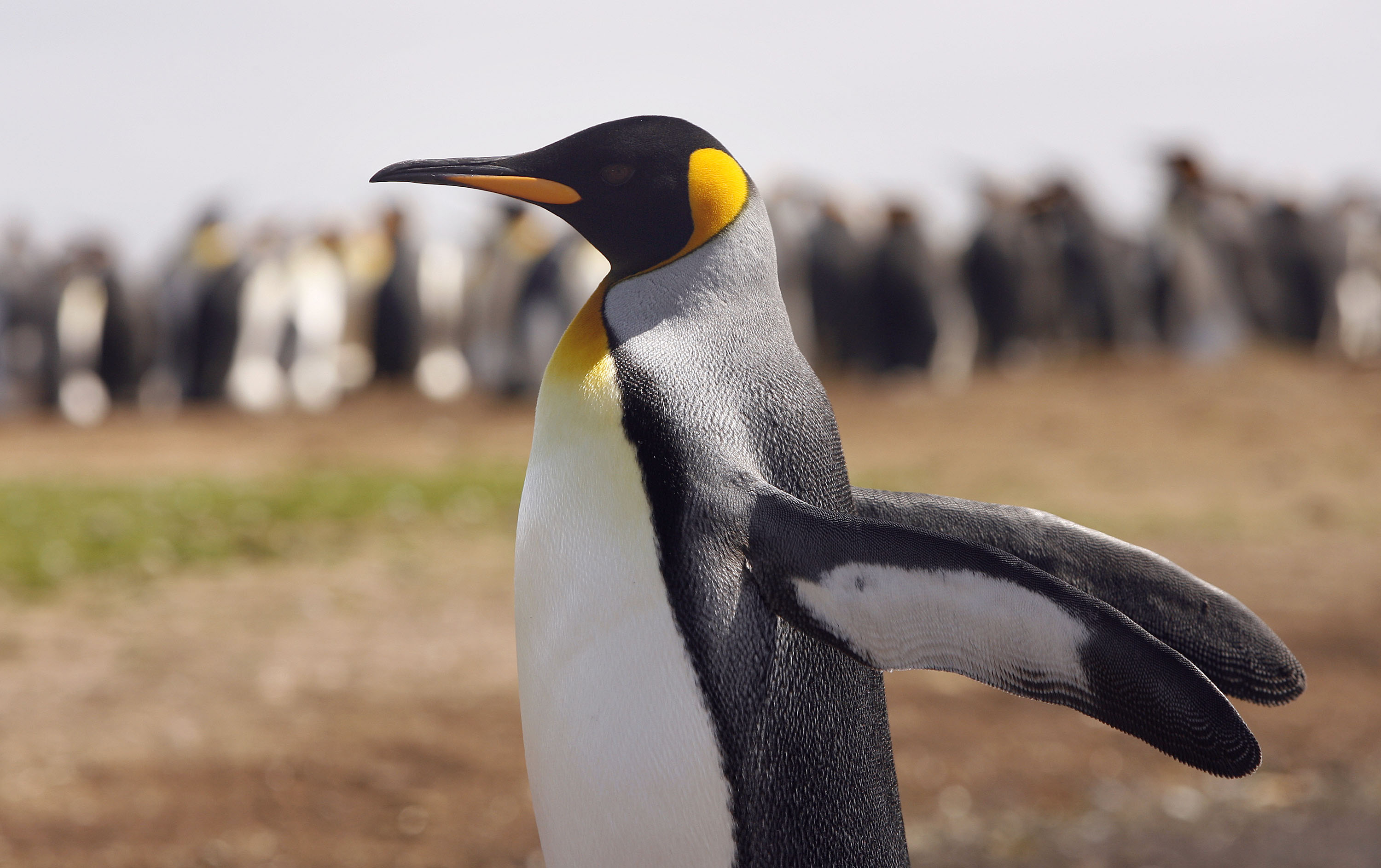 A King Penguin stretches it's wings at Volunteer Point, Falkland Islands on Feb. 5, 2007.