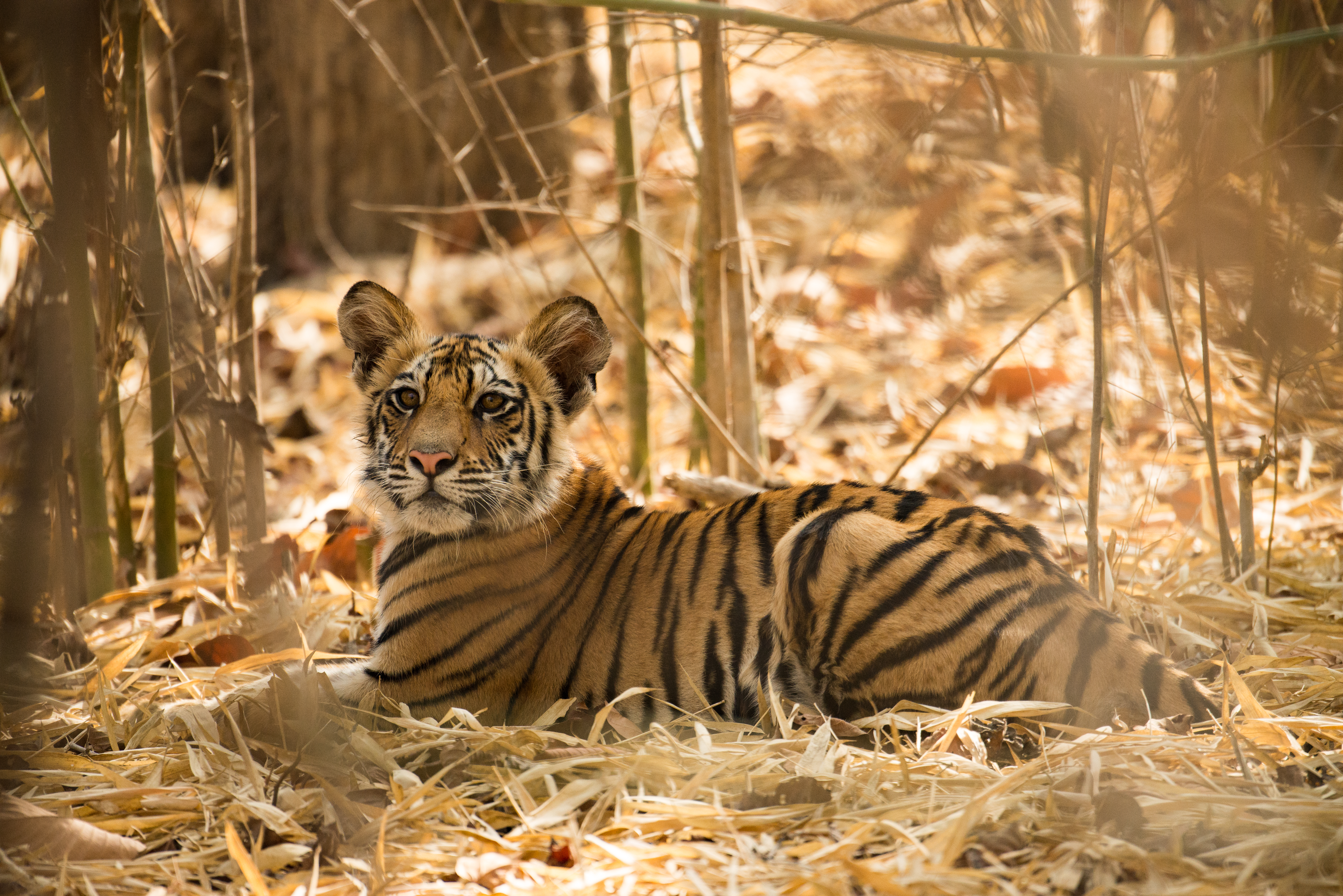 A 4-month-old tiger cub resting in the bamboo grove  in Bandhavgarh National Park, Madhya Pradesh, India on May 17, 2017.