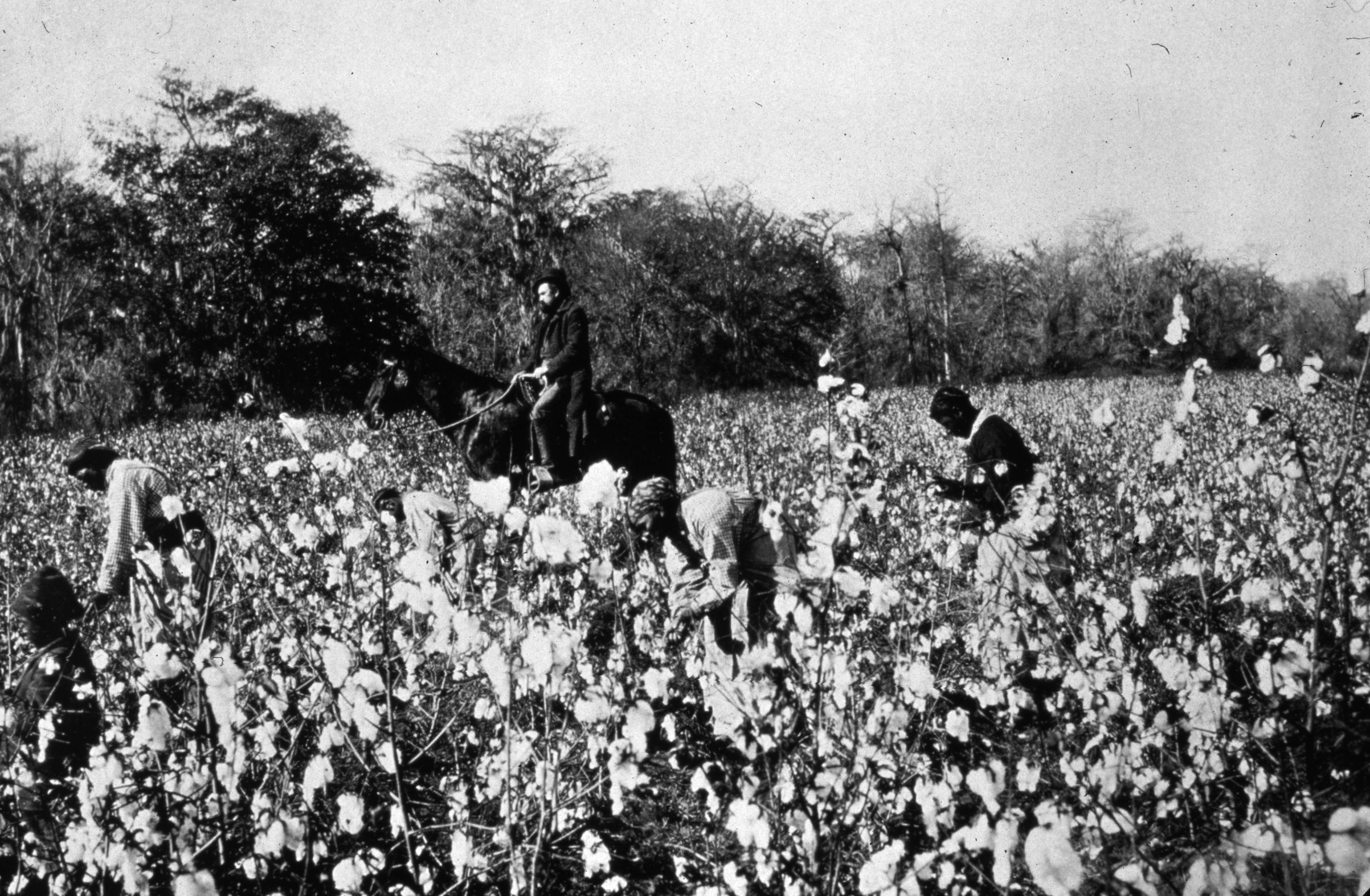 circa 1850: An overseer riding past people picking cotton in a field in the southern states of America.
