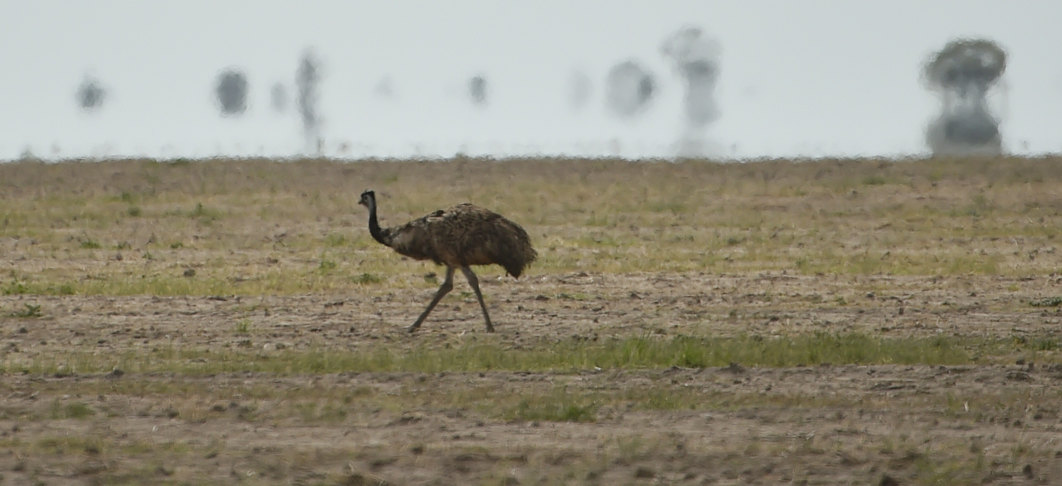 An emu looks for food in the dry earth near the Australian agricultural town of Walgett.