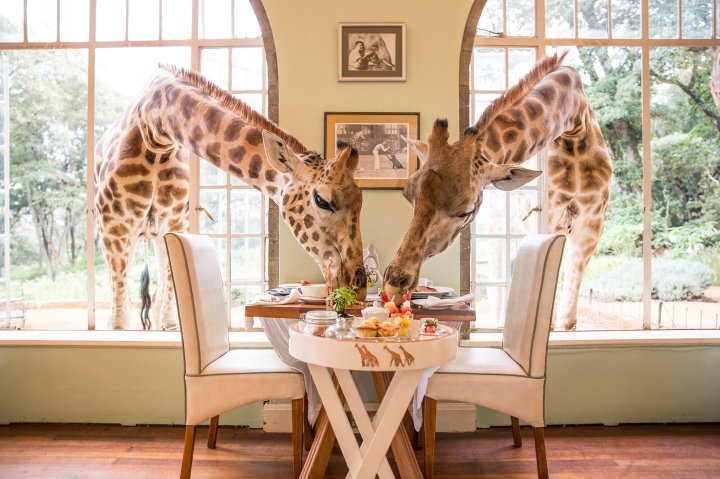 Giraffes eating at Giraffe Manor in Nairobi, Kenya