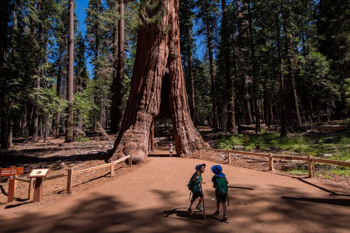 Children at a tree in Mariposa Grove in Yosemite