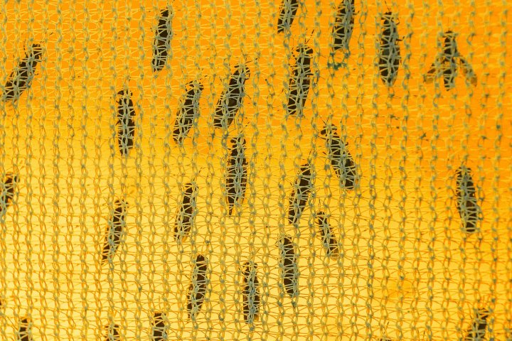 Adult black soldier flies rest on the inside of one of an AgriProtein cage, in which they breed. The eggs hatch into larvae that consume organic food waste.