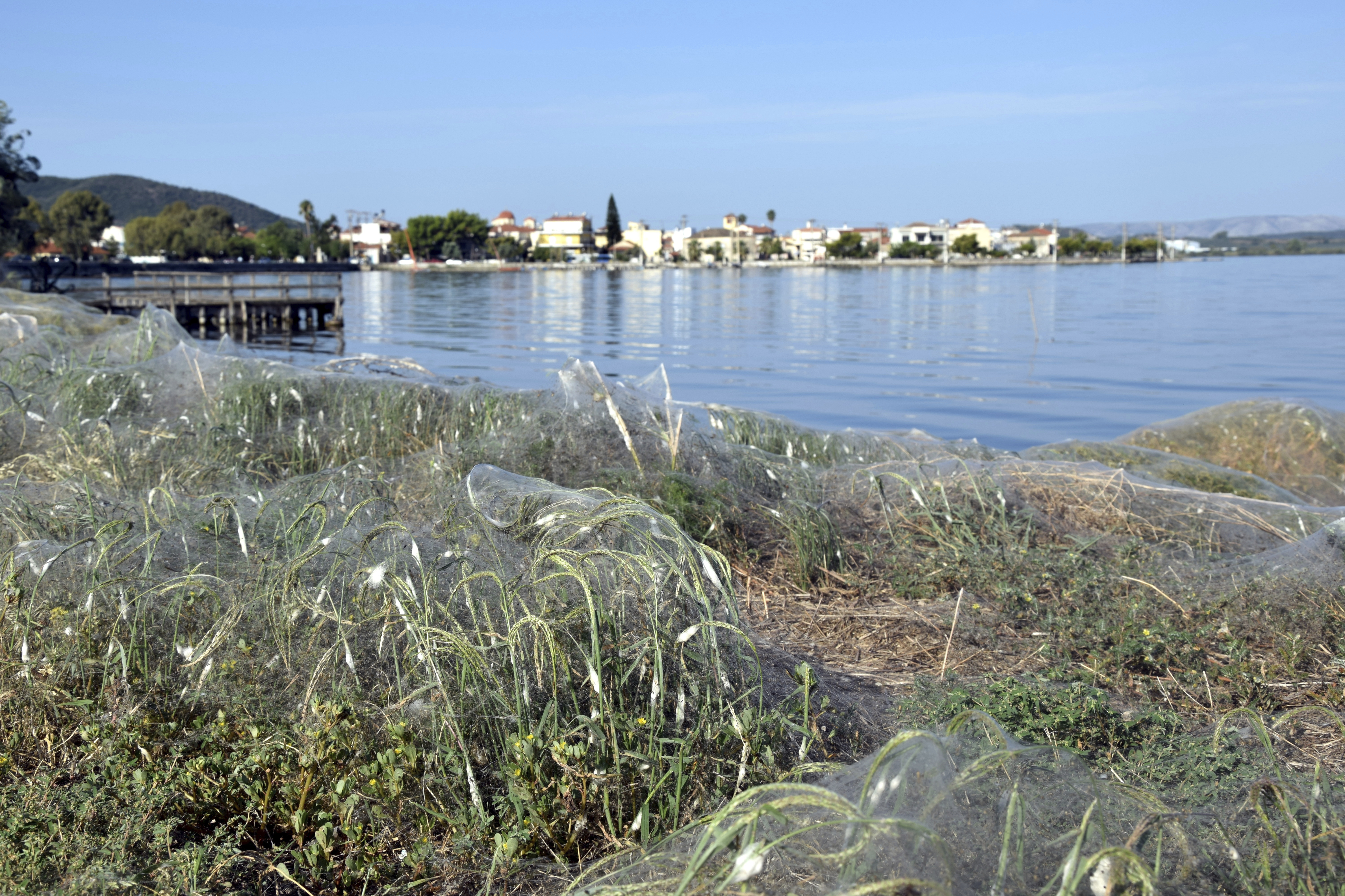 In this Wednesday, Sept. 18, 2018 photo, seaside vegetation along a beach at Aitoliko, in western Greece, is covered in thick spiders' webs. It's not quite the World Wide Web _ but the spiders of Aitoliko ihave made a good start. Spurred into overdrive by an explosion in populations of insects they eat, thousands of little spiders in the western town have spun a sticky white line extending for a few hundred meters along the shoreline. (AP Photo/Giannis Giannakopoulos.)